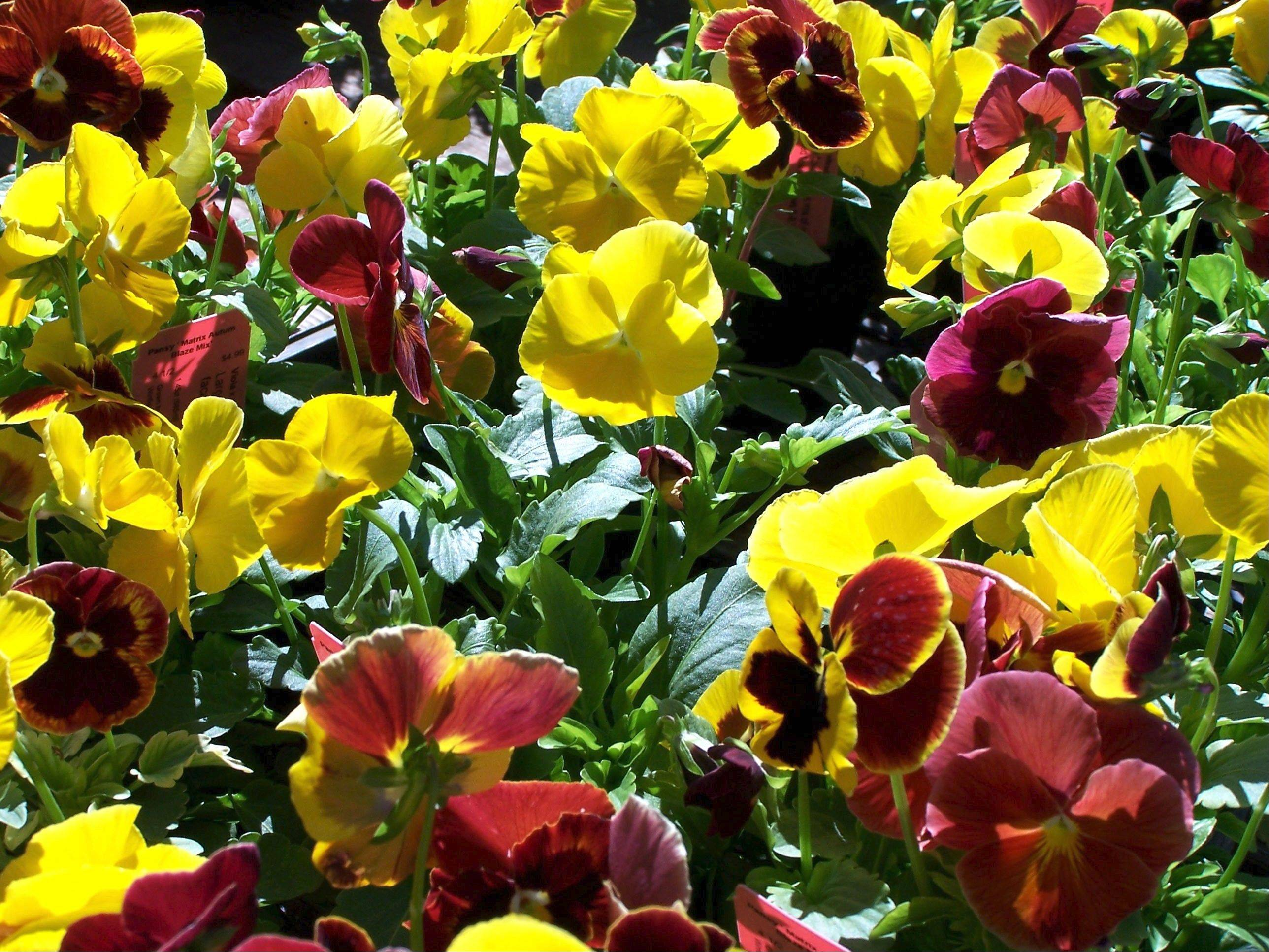 Pansies are available in autumnal shades.