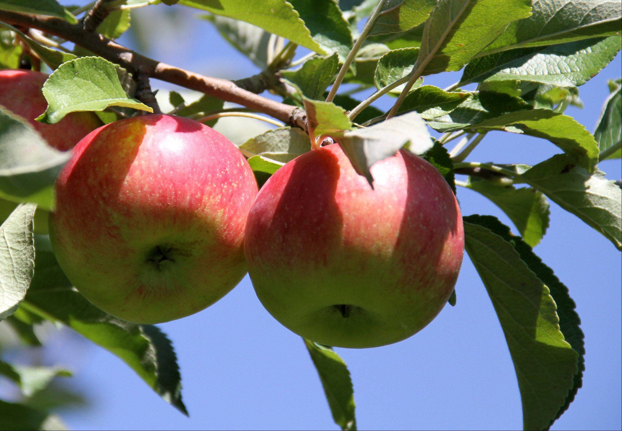 This year area orchards are filled with a variety of apples waiting to be picked.