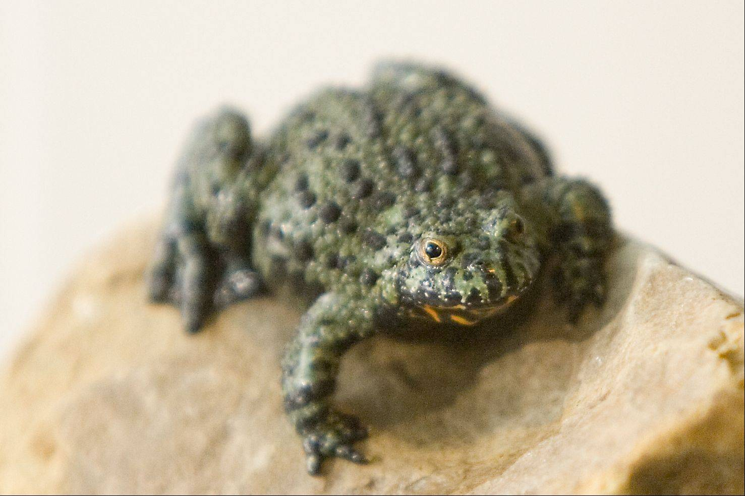 There are over 5,000 species of frogs known to exist, 10 of which are native to Illinois.