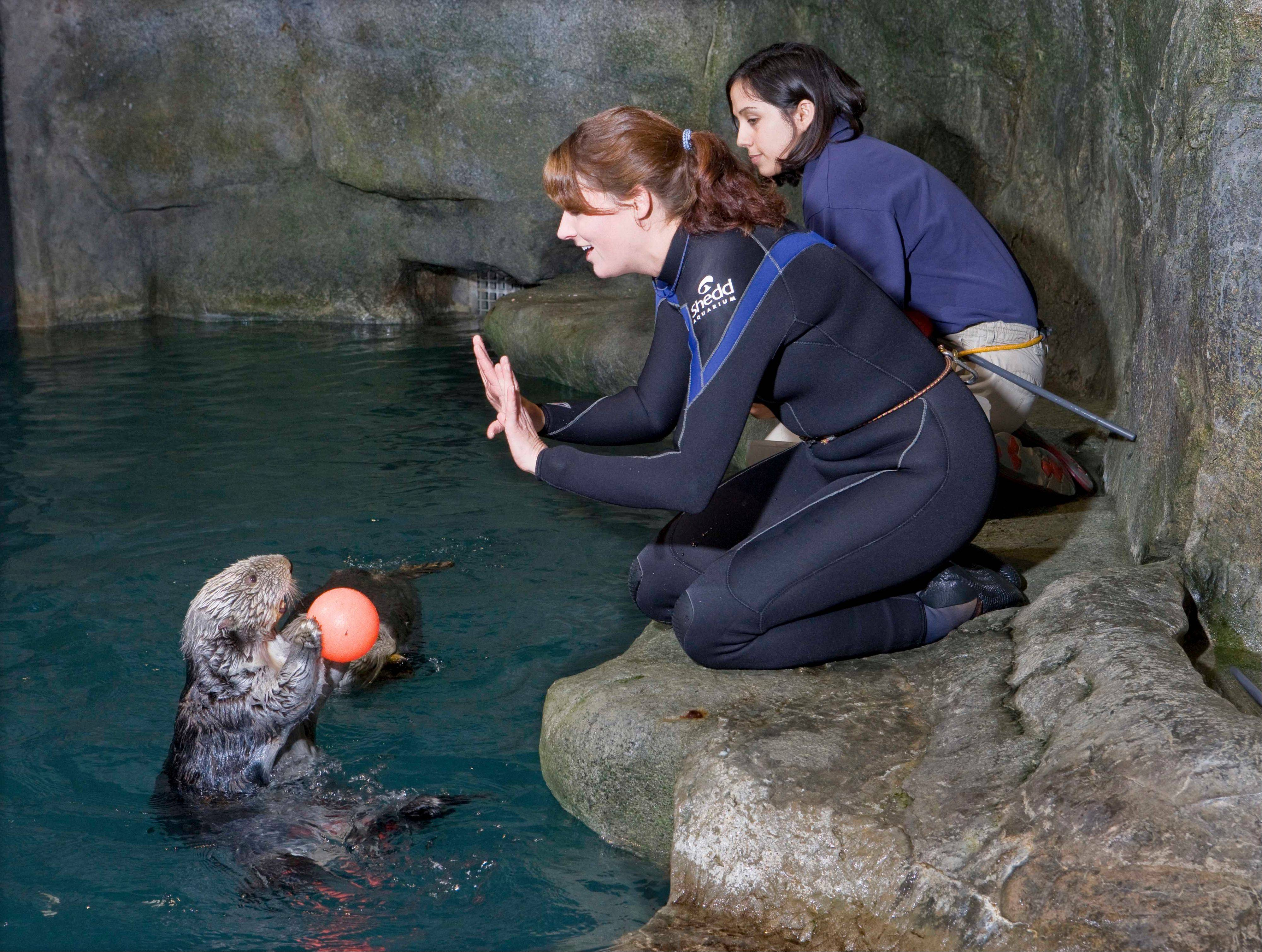 Kachemak interacts with trainers in 2009 at Shedd Aquarium in Chicago. The 23-year-old sea otter was euthanized over the weekend.