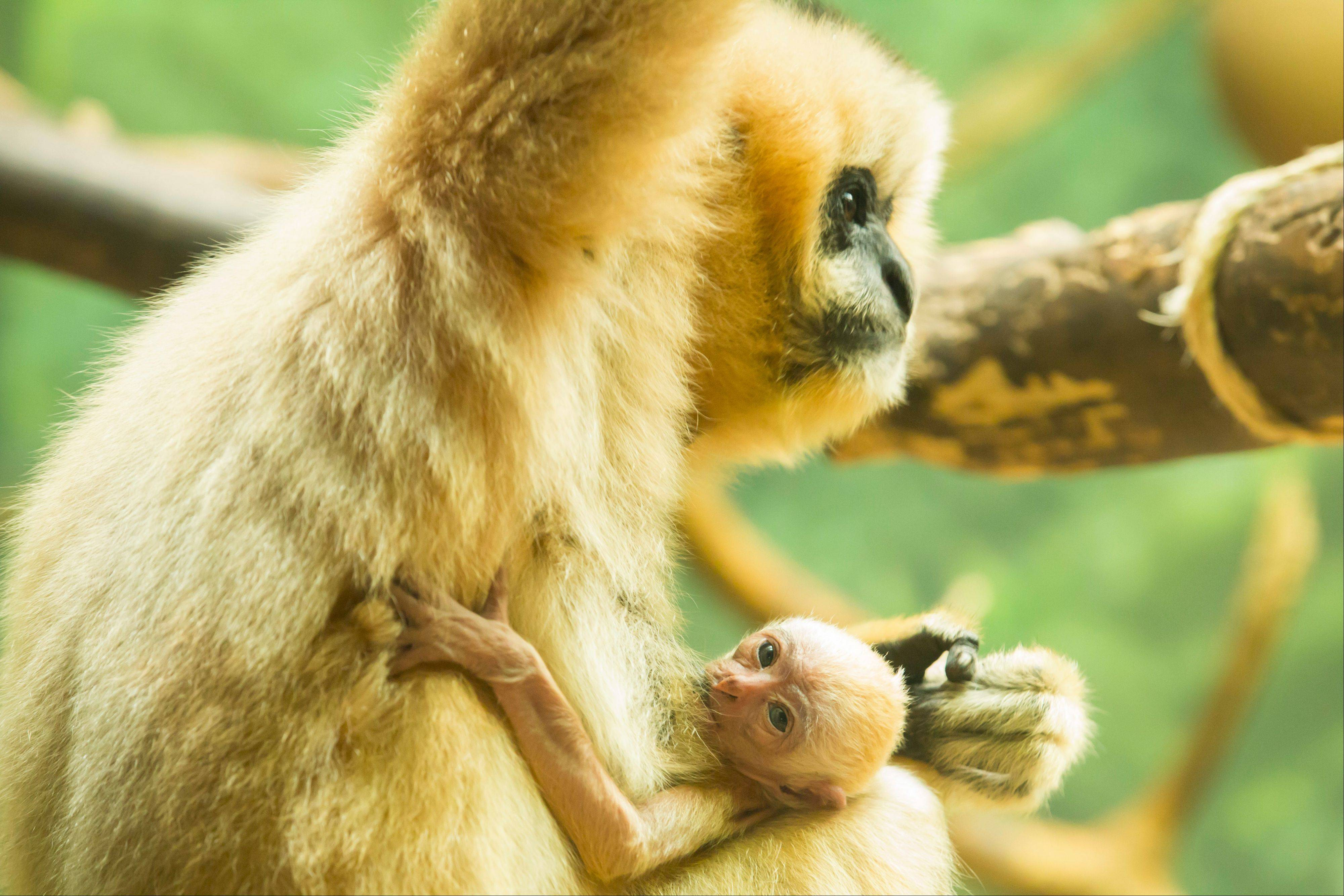 Burma, a white-cheeked gibbon, holds her baby, which was born Aug. 16 at the Lincoln Park Zoo in Chicago.
