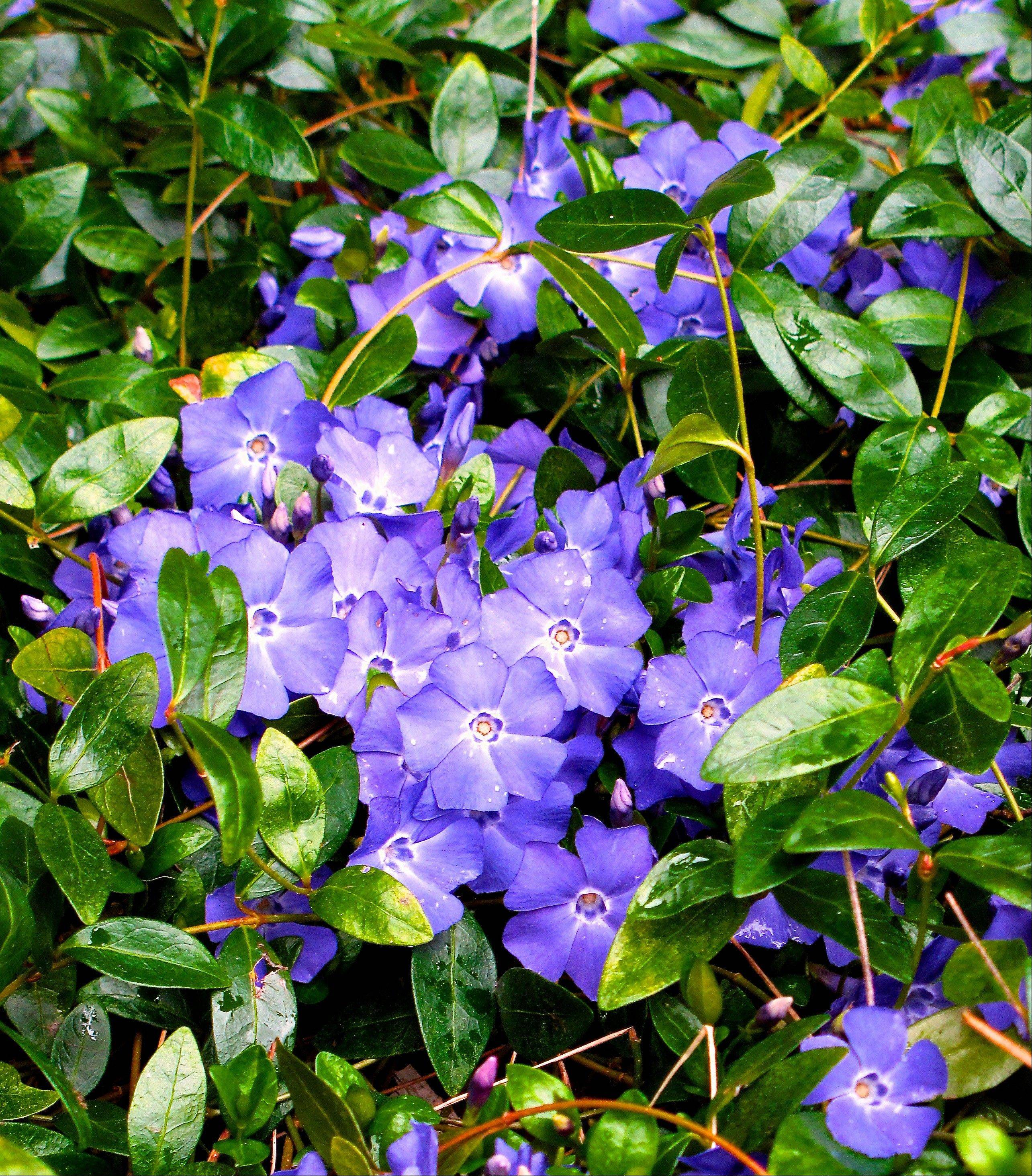 Vinca minor (periwinkle or creeping myrtle), a commonly used groundcover, prefers rich, moist soil but can tolerate poor, dry conditions and sunny exposures.
