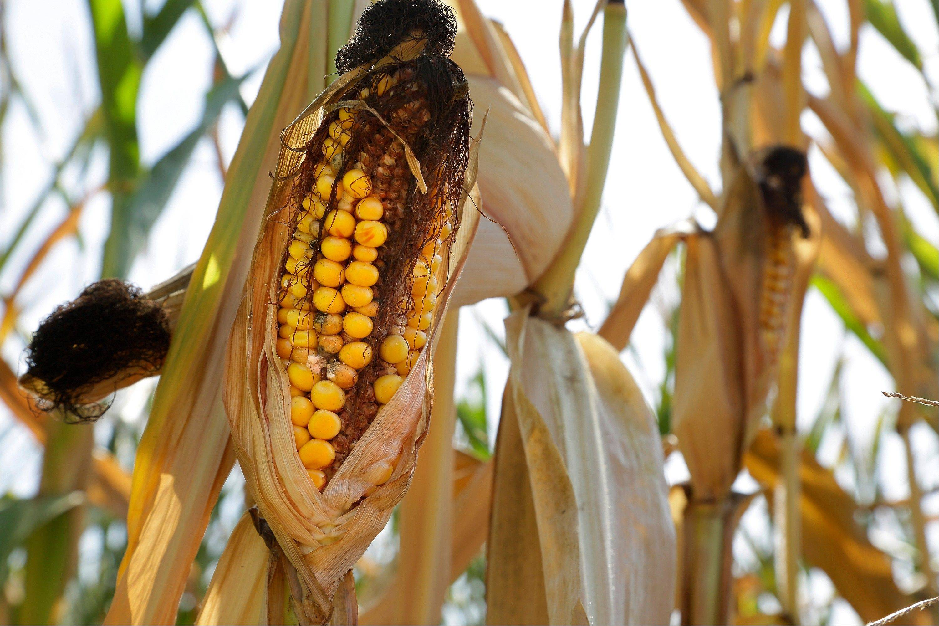 An ear of corn is blackened in the sun and heat Tuesday in Farmingdale, Ill. A growing season that began unusually wet and cold in the Midwest is finishing hot and dry, renewing worries of drought and its impact on crops.