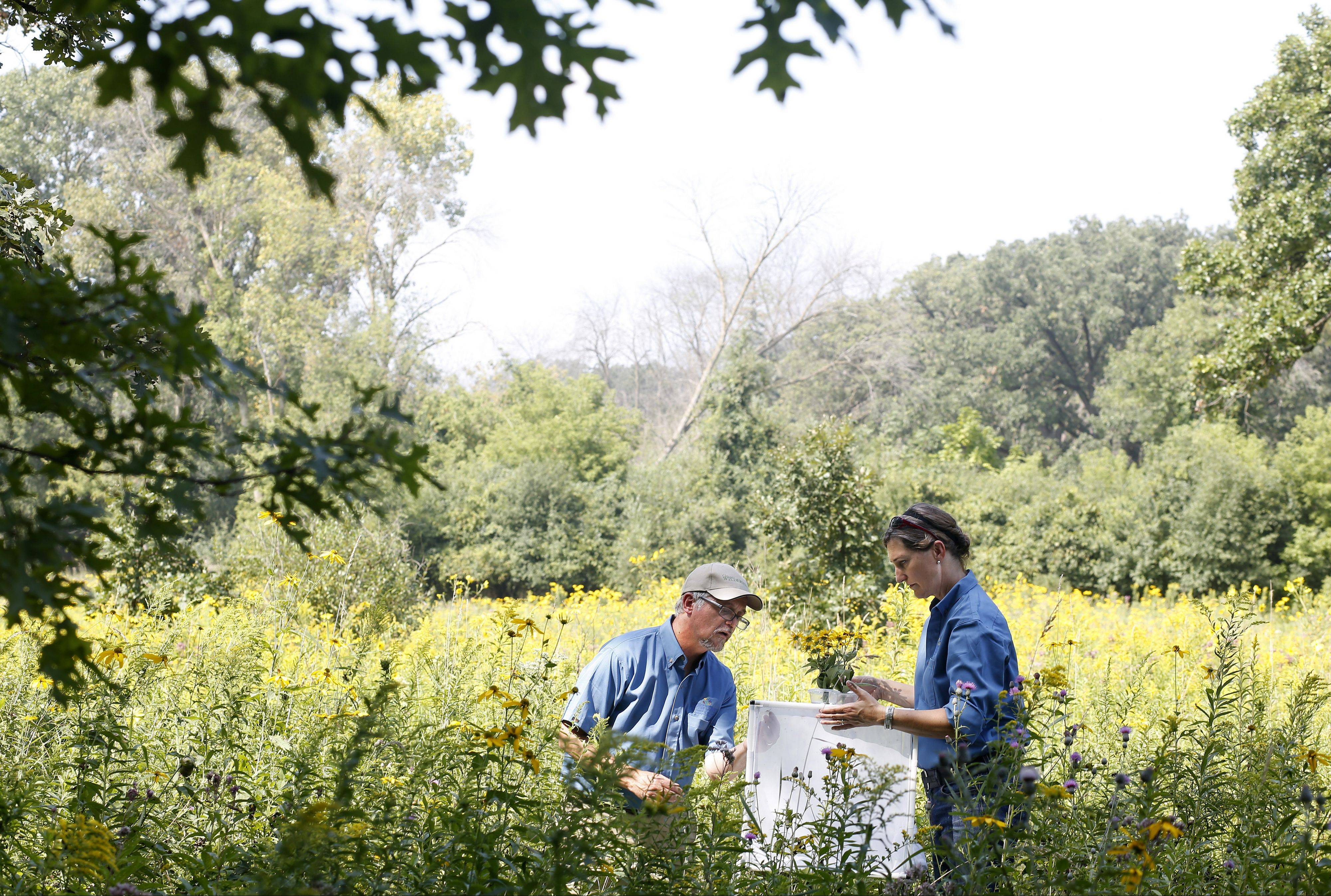 Doug Taron, curator of biology, and Karen Kramer Wilson, living invertebrate specialist, both of the Peggy Notebaert Nature Museum, release their special insects Thursday into the Bluff City Fen in Elgin. The swamp metalmark butterflies were bred at the nature museum in Chicago.