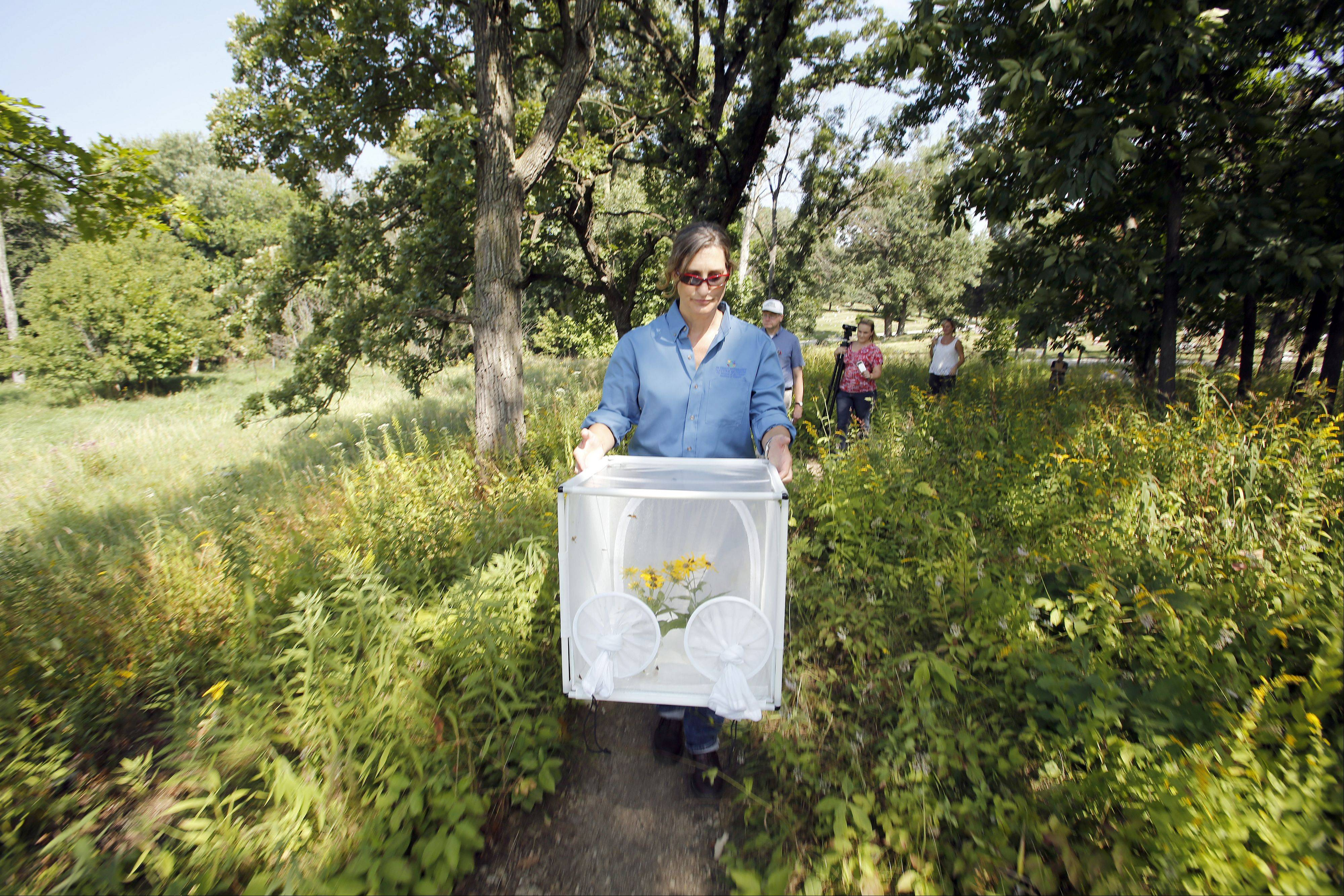 Karen Kramer Wilson, living invertebrate specialist at the Peggy Notebaert Nature Museum in Chicago, carries swamp metalmark butterflies to their new home Thursday at the Bluff City Fen in Elgin.