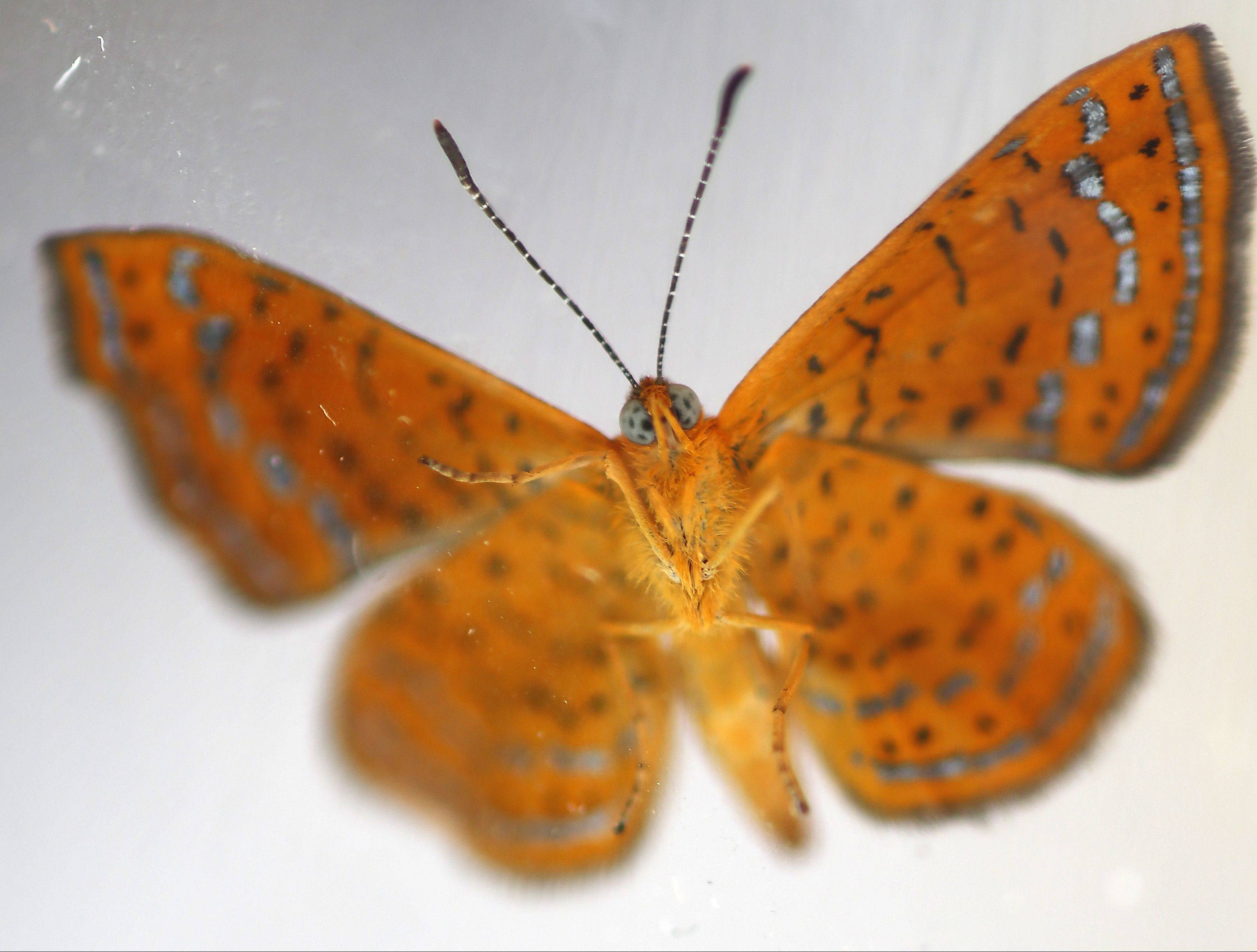 The swamp metalmark butterflies are known for their reddish-brown wings that are lightly checkered. Here one is seen through clear plastic as it clings to the top of the container prior to the release Thursday.