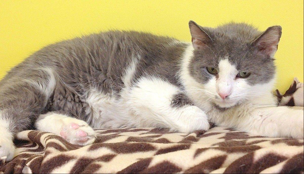 Five-year-old Parker, a male, domestic shorthair, is seeking a place to call home.