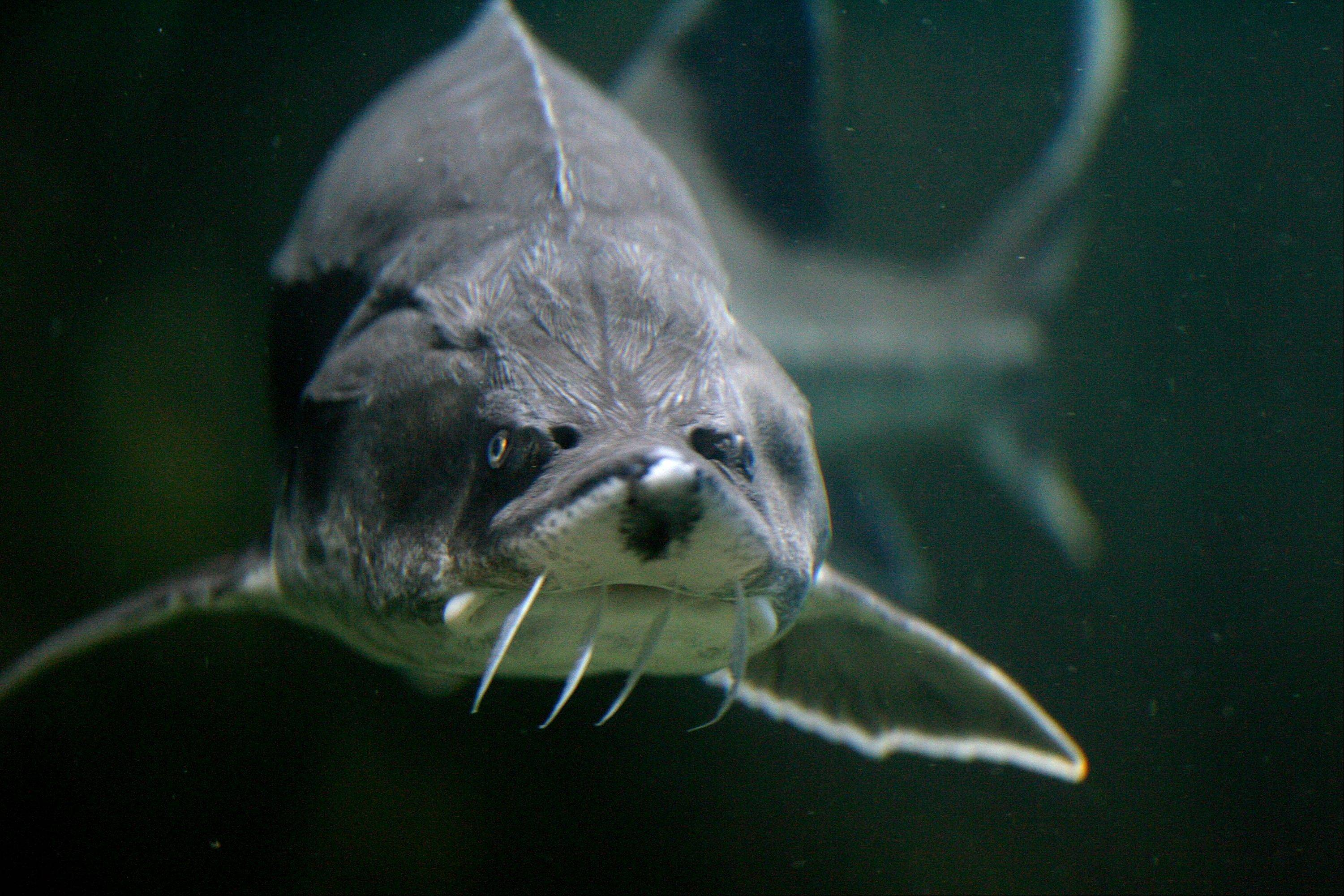 A sturgeon swims in an aquarium in the Danube River port city of Tulcea, Romania. Sturgeon thrived in the Danube River for 200 million years, but, like in the Great Lakes, their numbers are dwindling.