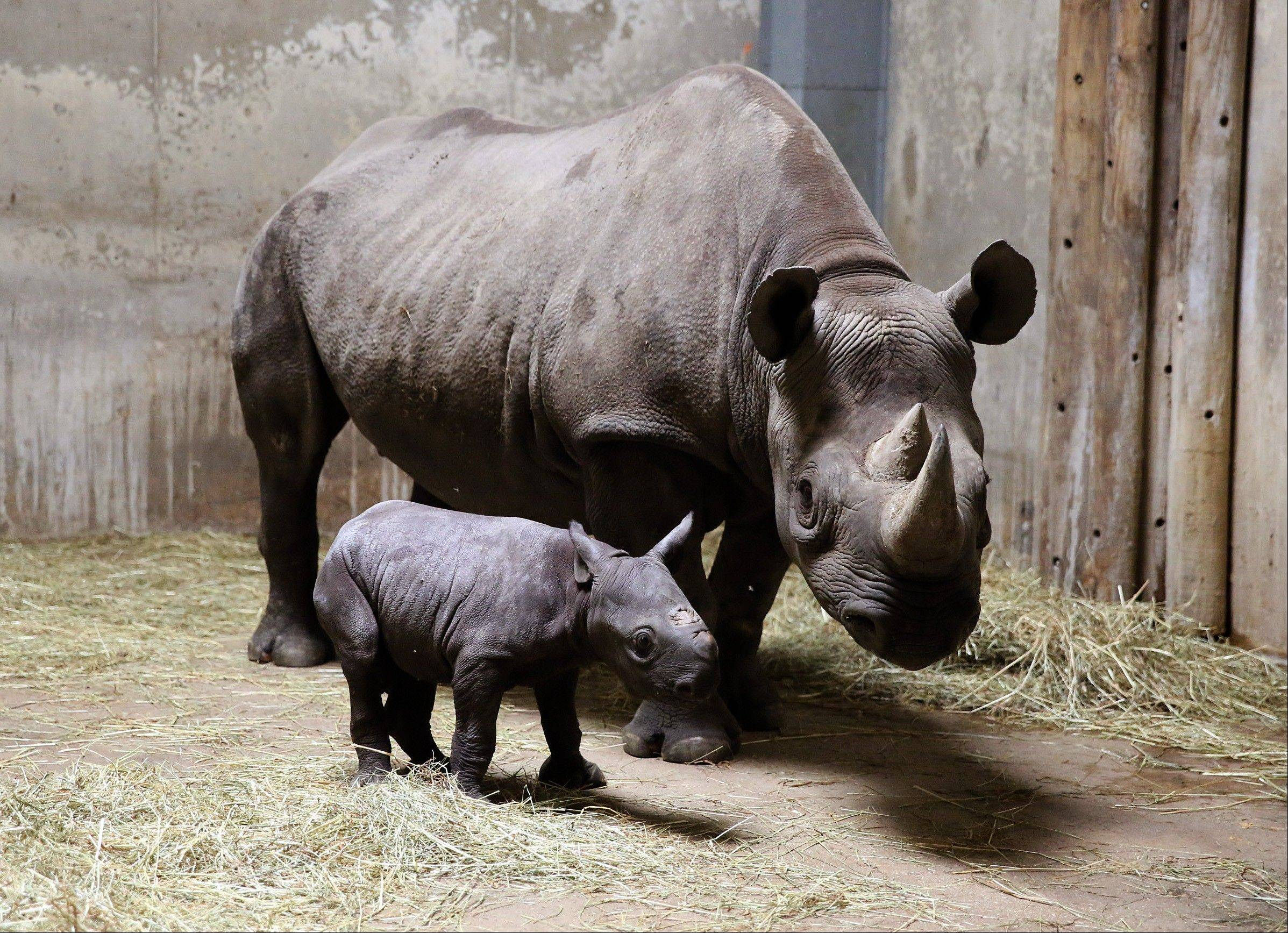 An Eastern black rhinoceros calf walks Wednesday with its mother, 8-year-old Kapuki, at the Lincoln Park Zoo in Chicago.