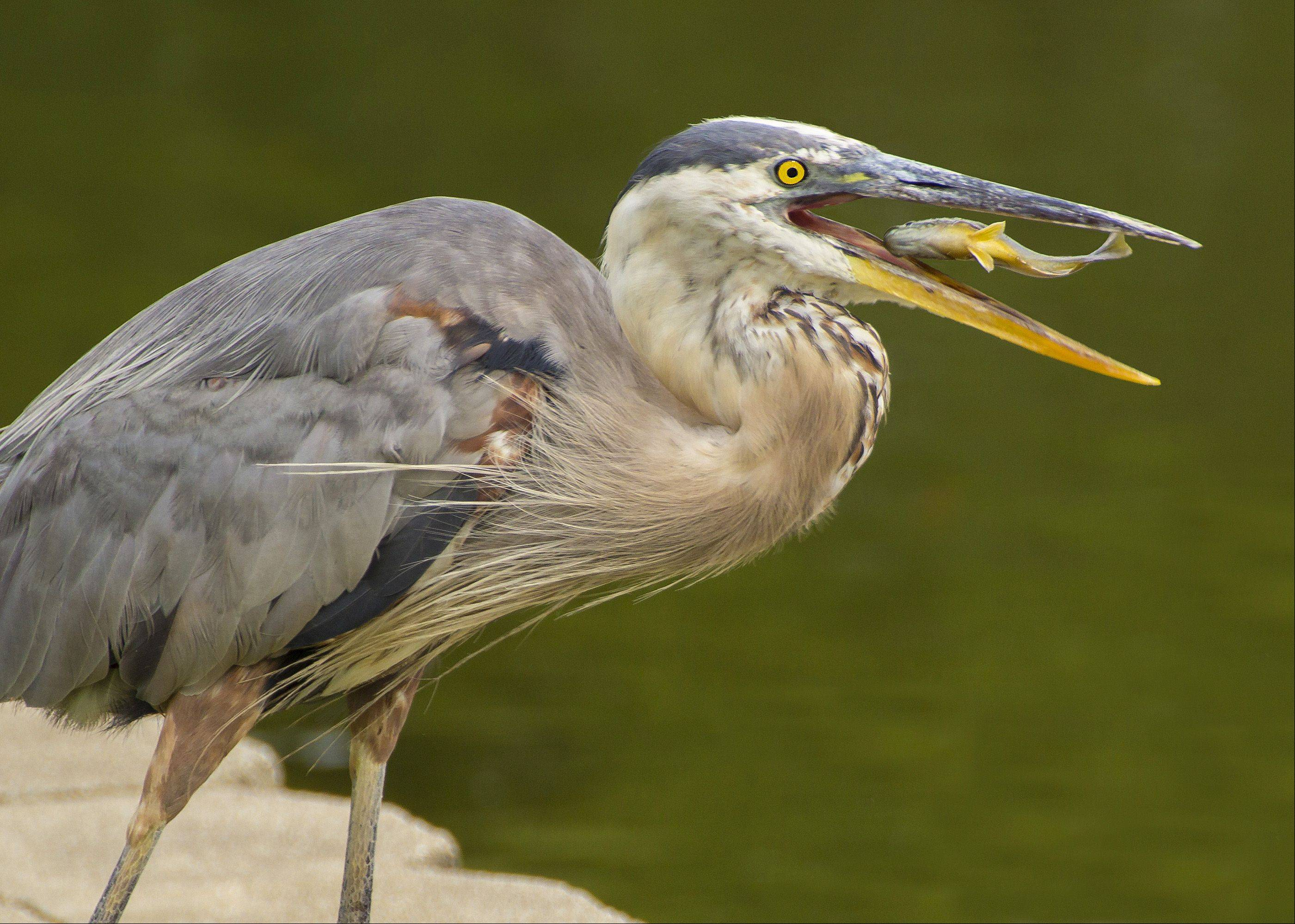 The is a Heron that spends it days at Turner Pond in Roselle. I was lucky enough to have camera in hand as a local gentleman who was fishing threw the bird a snack. The picture was taken with Canon 60D.