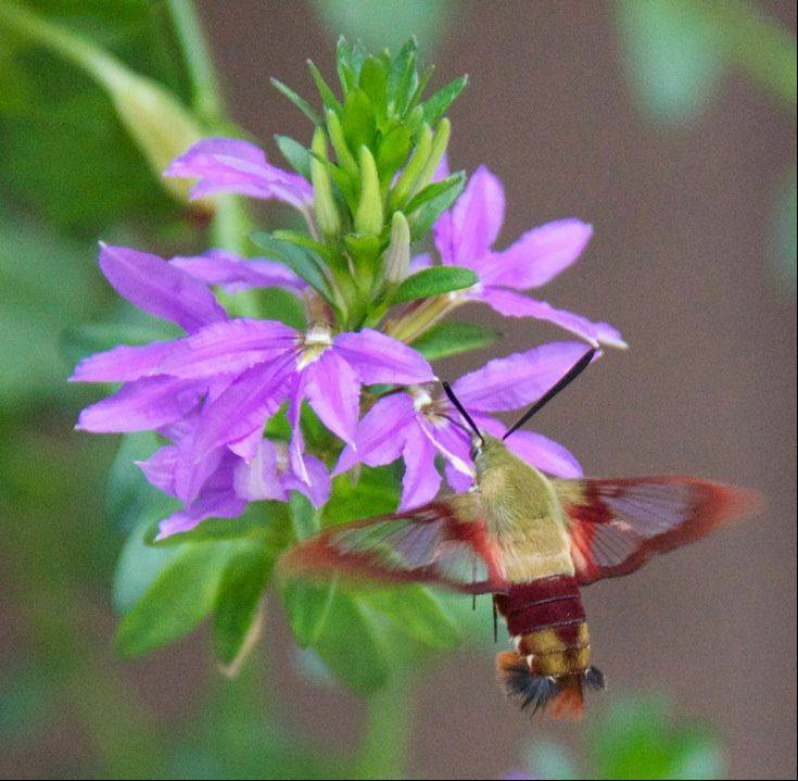 This is a Hawk Nosed Moth. The first time I saw one was in France. This summer as I was pulling into my garage I spied him flitting around the hanging flower planter between the two garage doors. They fly just like a hummingbird!