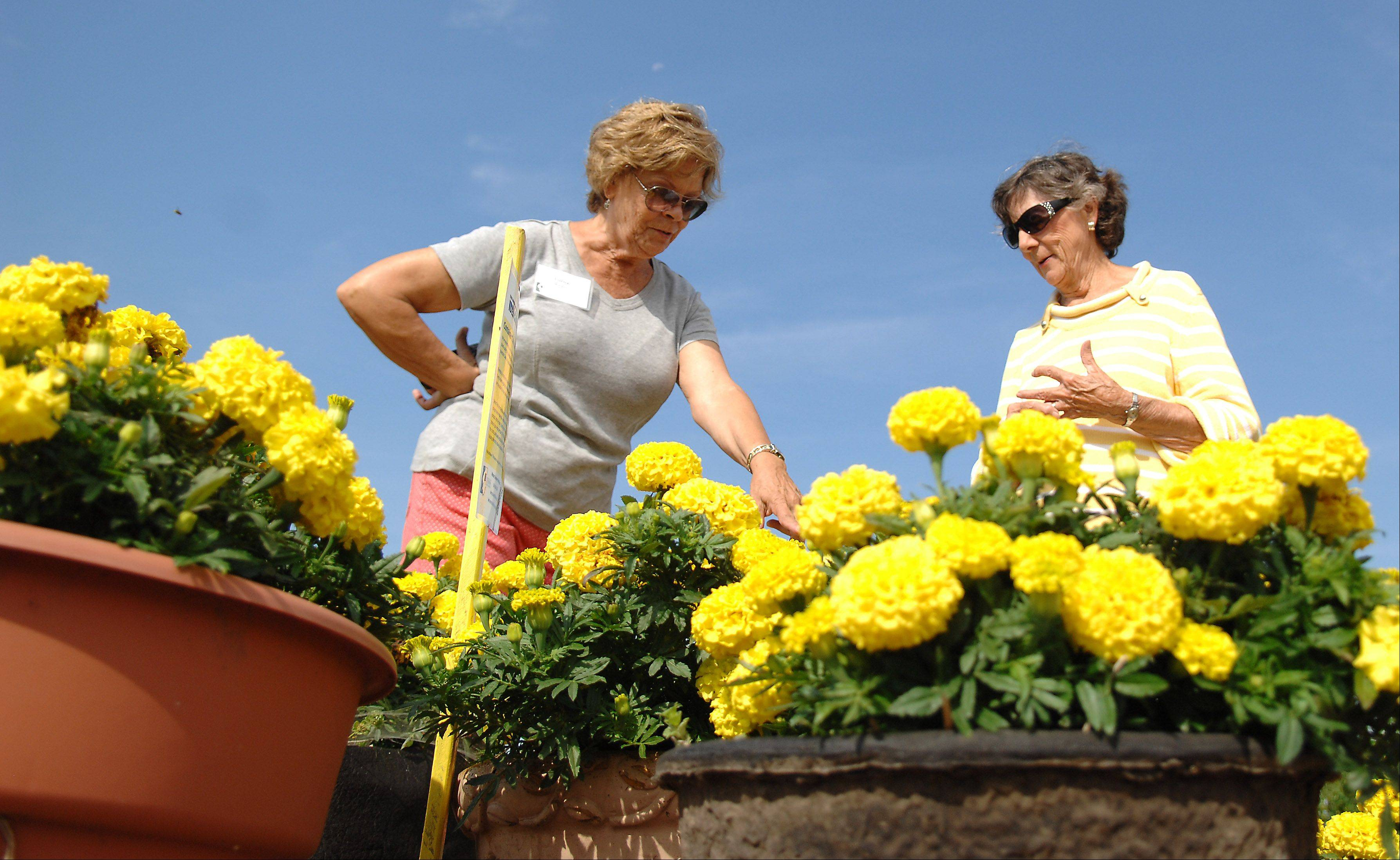 Lorna Marquis, left, an intern with the Kane County Master Gardeners, shows JoAnne Jochum, of Elgin, the difference in the Marigolds planted in containers versus those planted in the ground at the Master Gardeners' Idea Garden in St. Charles Tuesday. The Idea Garden features combinations of flowers, herbs and vegetables designed to easily replicate at home.
