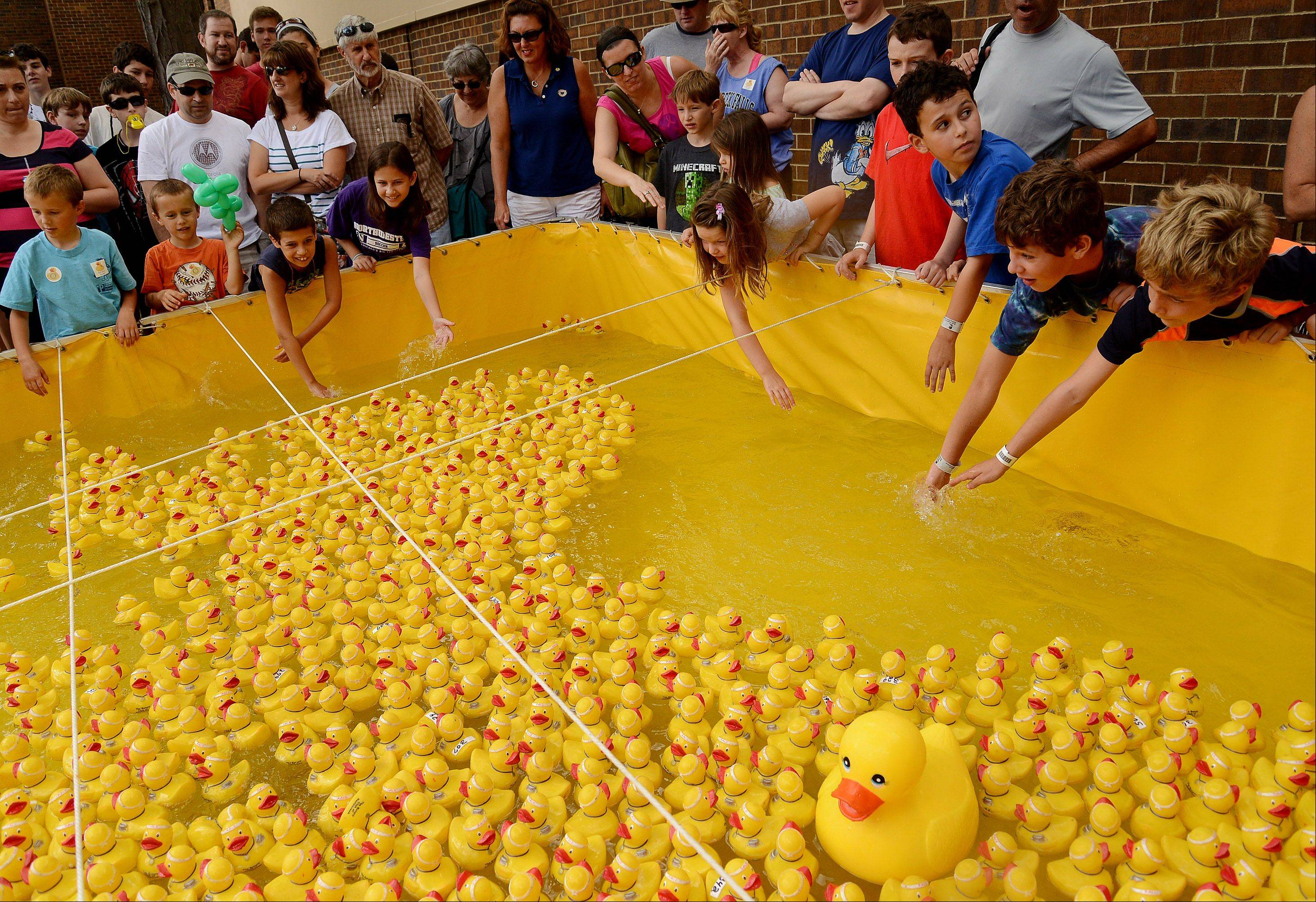 The Rotary Rubber Duck Race is one of the highlights of the fifth and final day of Buffalo Grove Days.