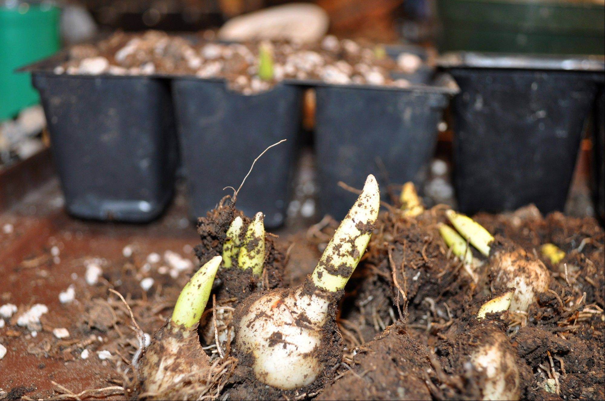 Little bulbs that form along stems below ground are called stem bulblets. Collect these stem bulblets, taking care to preserve any clinging roots as soon as the stems and leaves begin to whither.