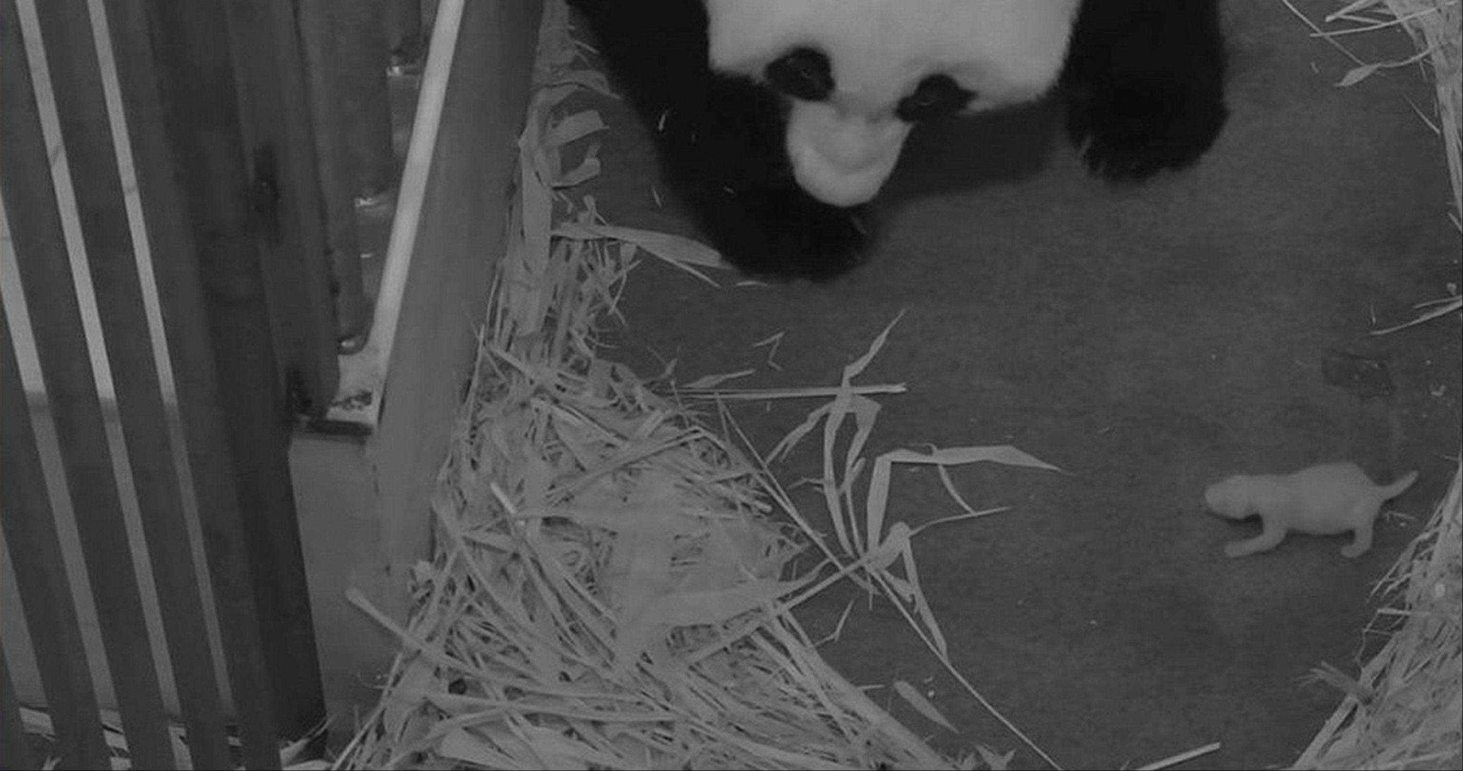 This handout photo provided by the Smithsonian's National Zoo, taken Aug. 29, shows the zoo's panda mother, Mei Xiang, with her cub. The zoo said Thursday its 2-week-old giant panda cub is female. The Washington zoo also revealed Thursday that the cub's father is National Zoo panda Tian Tian.