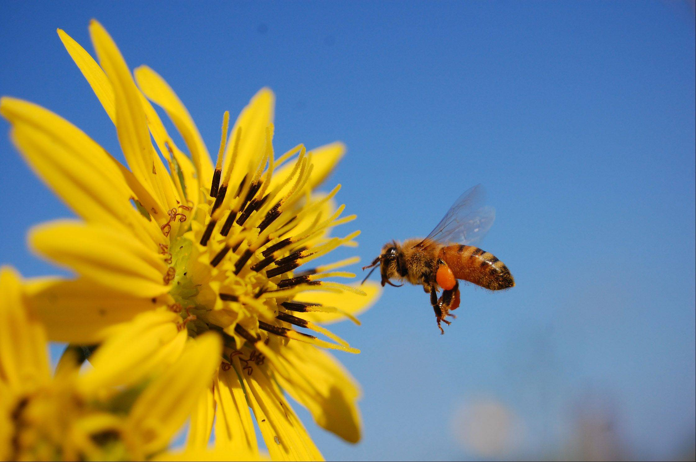 A bee buzzes around a sunflower at Volo Bog State Natural Area in Volo on August 29th.