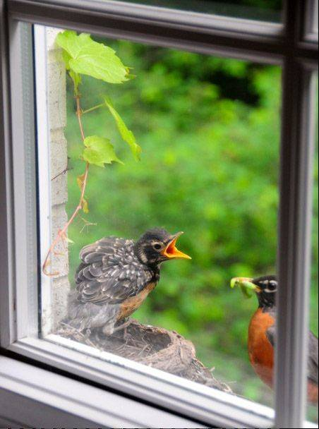 A robin decided to build its nest on the window sill of our family room. This is a window seat and a bird's-eye view!