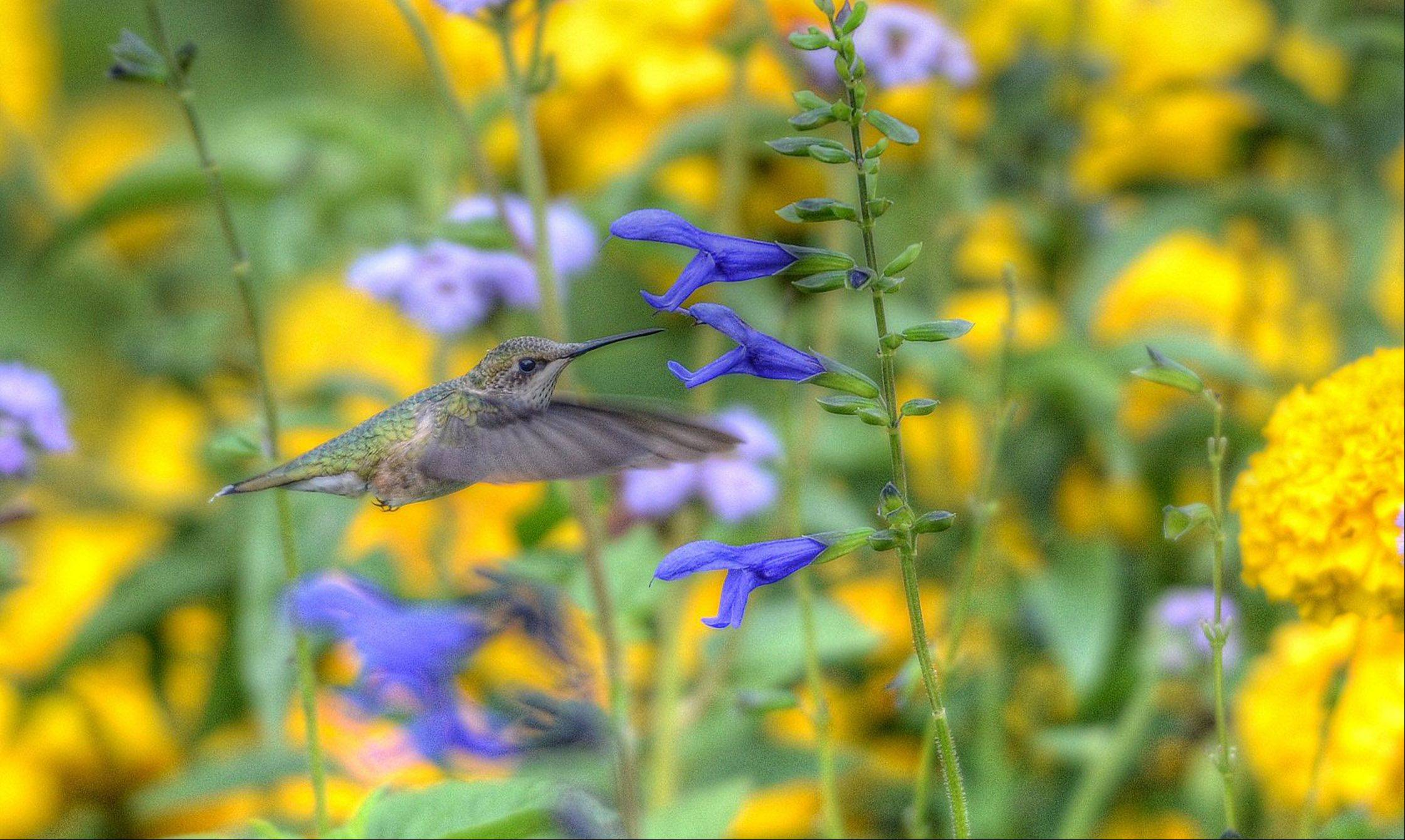 In a little section of flowers at the Chicago Botanic Garden in Glencoe, a group of humming birds congregate on a Sunday morning where they like to eat.