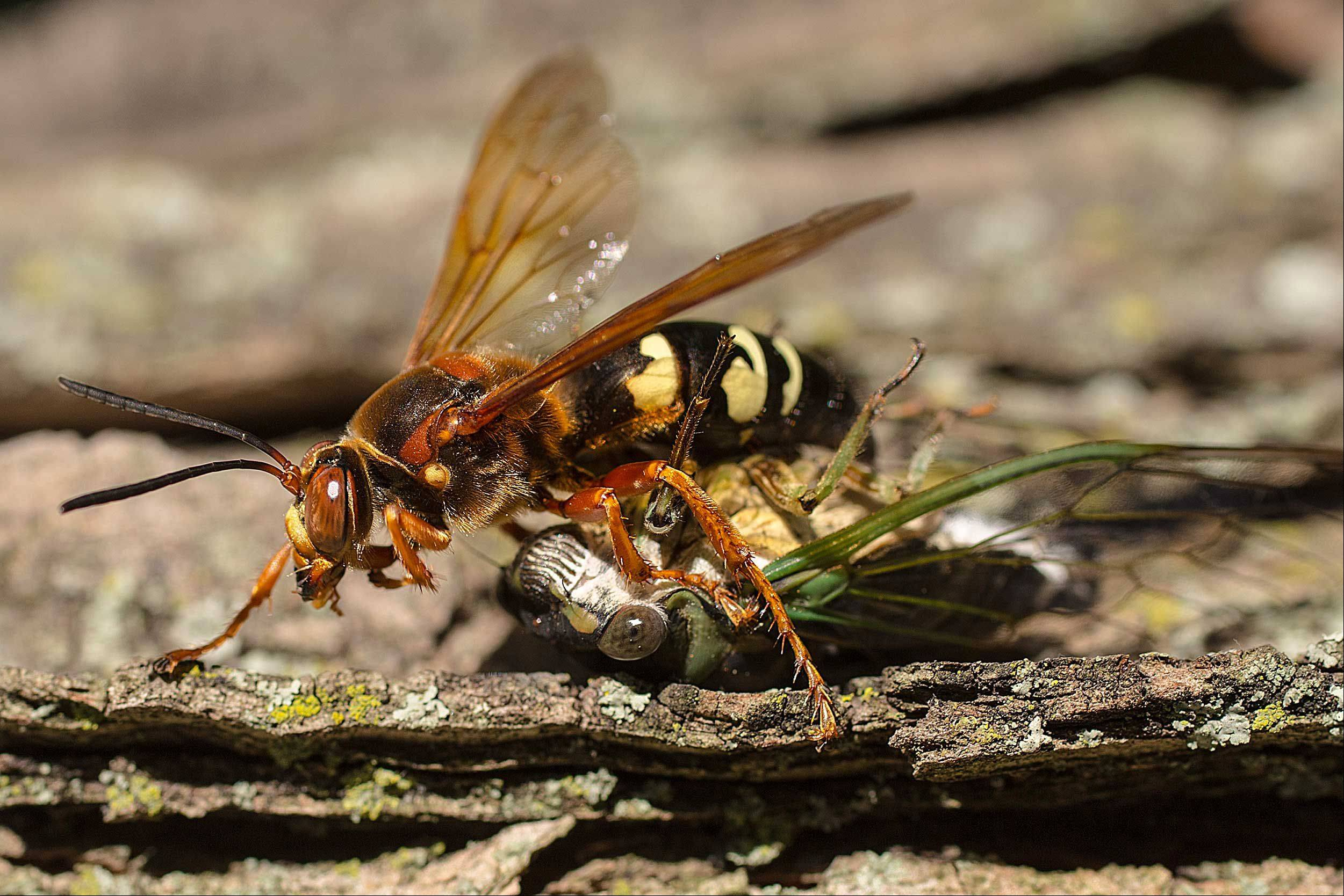 The photo is of a Cicada Killing Wasp dragging a cicada home for dinner. It was taken very quickly during a cookout on Labor Day.
