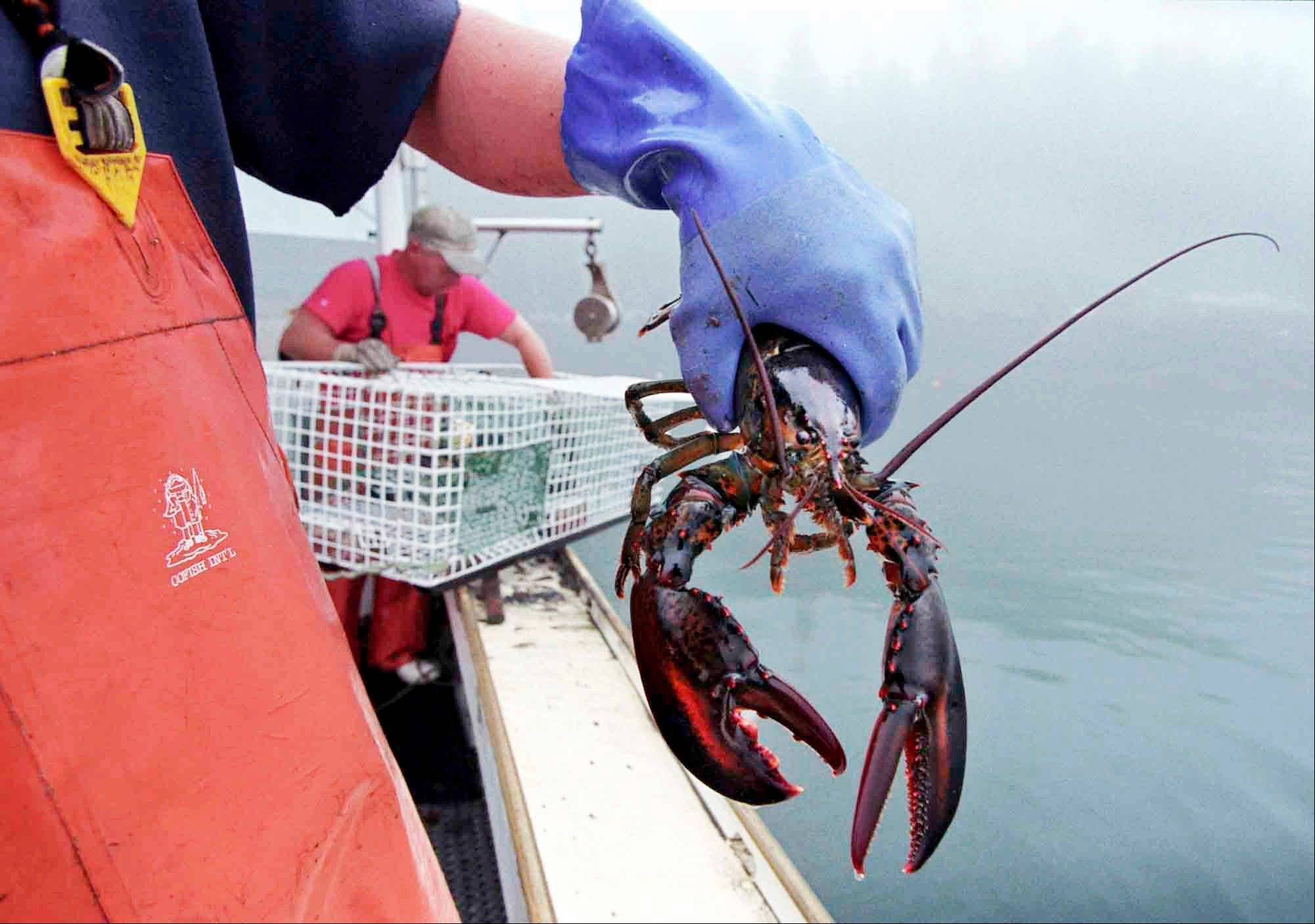 A sternman holds a lobster caught off South Bristol, Maine. In the coming months, a new marketing strategy will be launched that aims to bolster the brand and sales of Maine lobster.