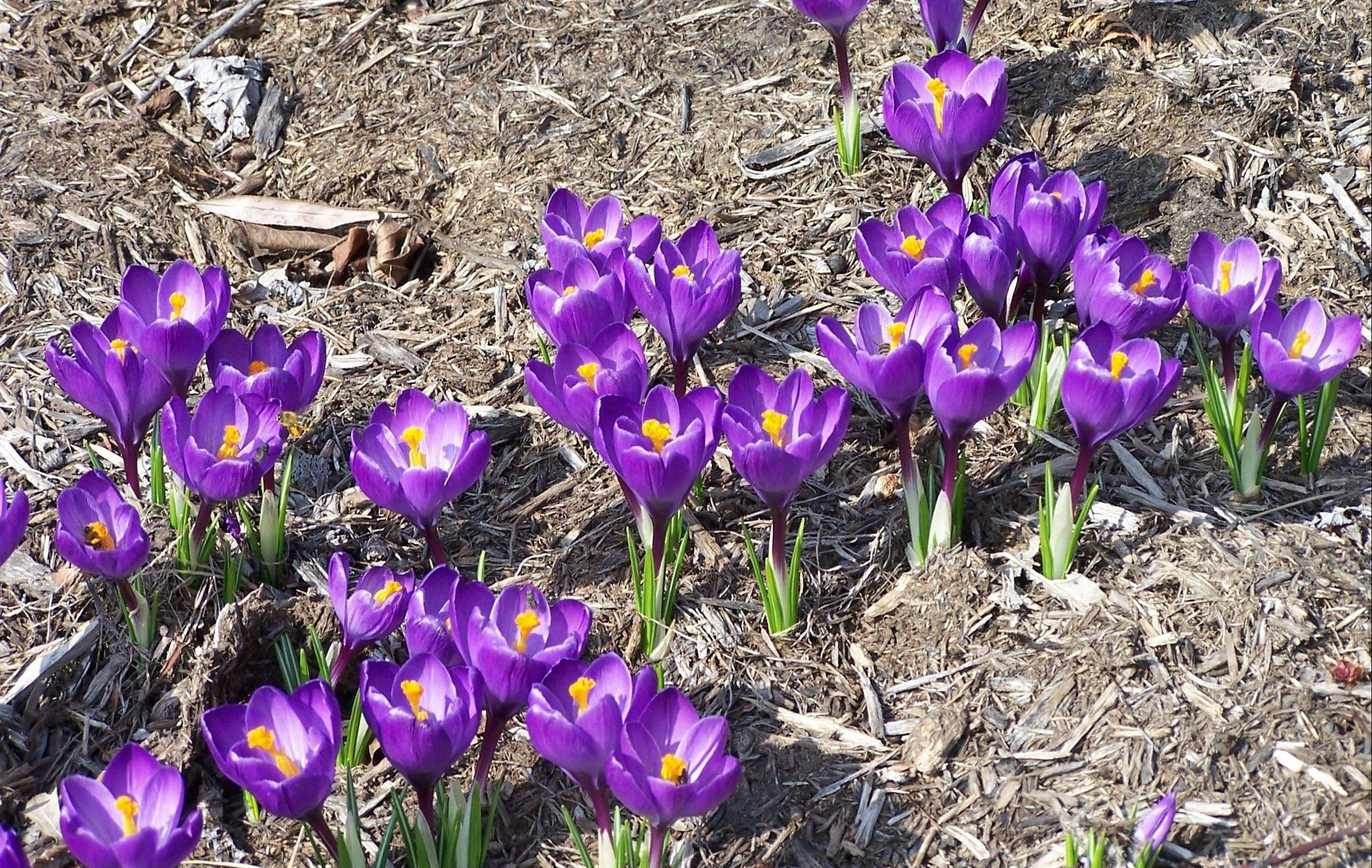 These crocus will multiply to form a solid mass of purple.