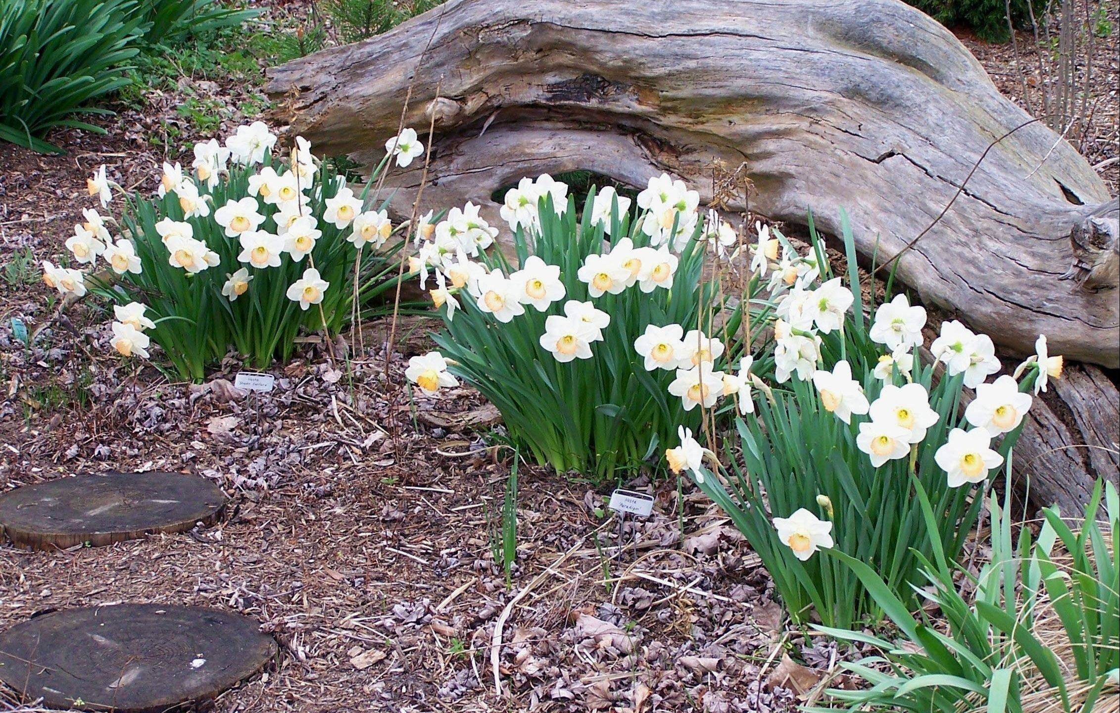 Bouquets of daffodils are planted between still-sleeping hostas.