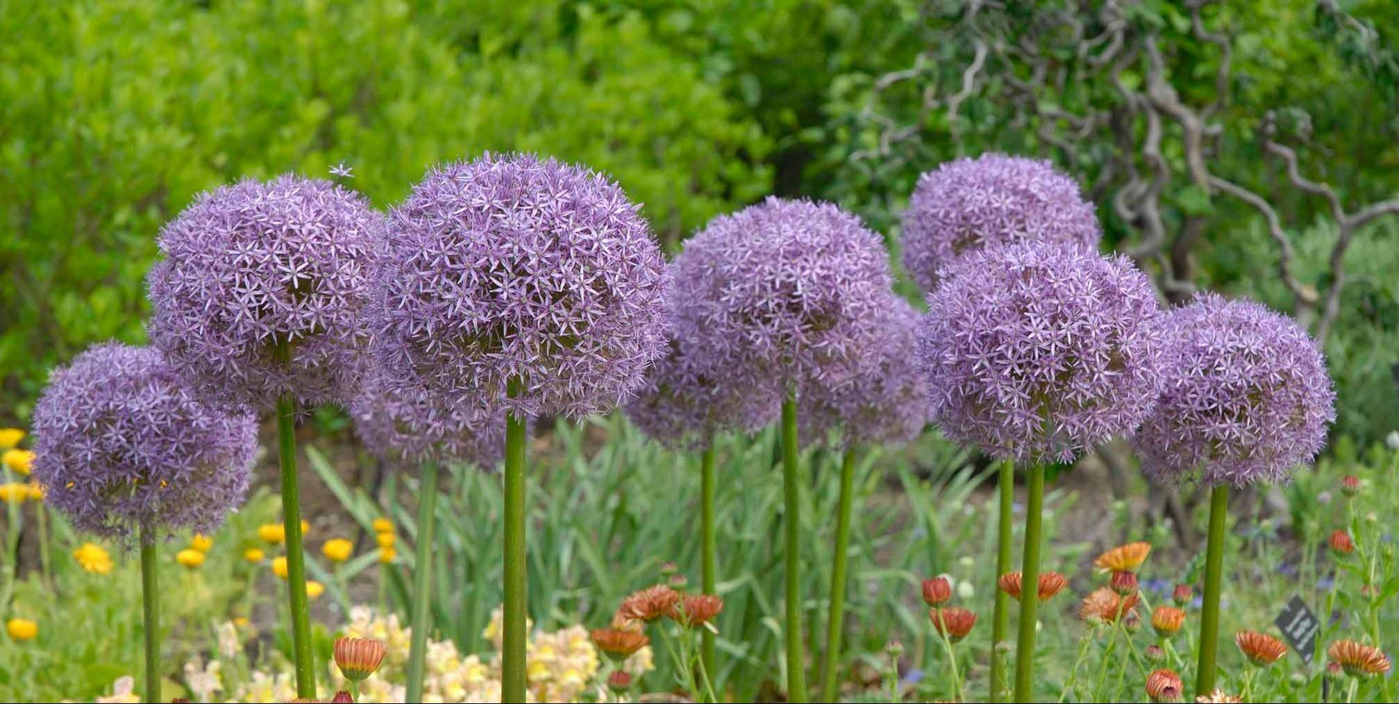 Allium Globemaster blooms in June with flowers clustered on stems reaching 2 to 3 feet.