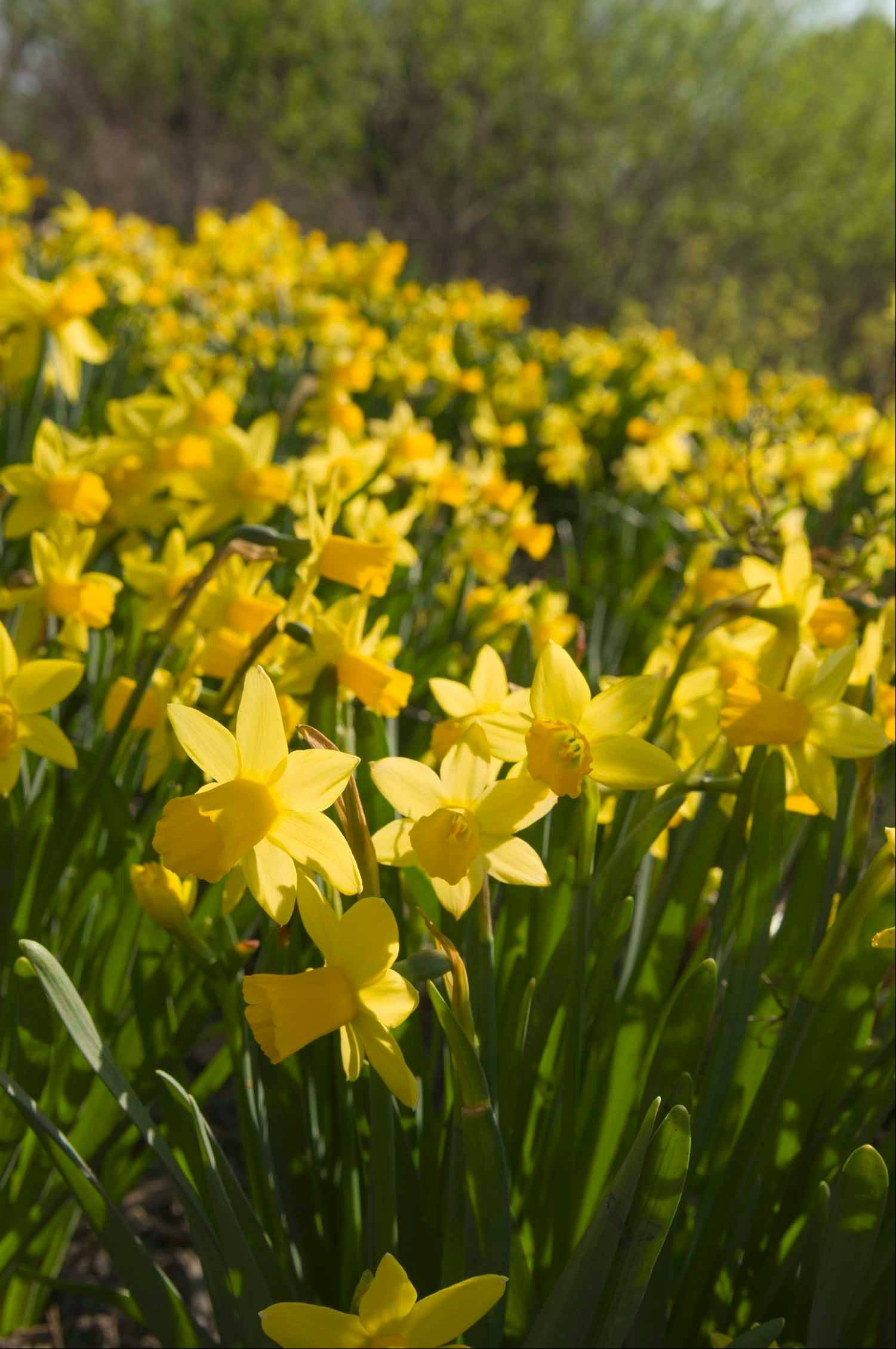 Daffodils are easy to grow and resist foraging from animals.