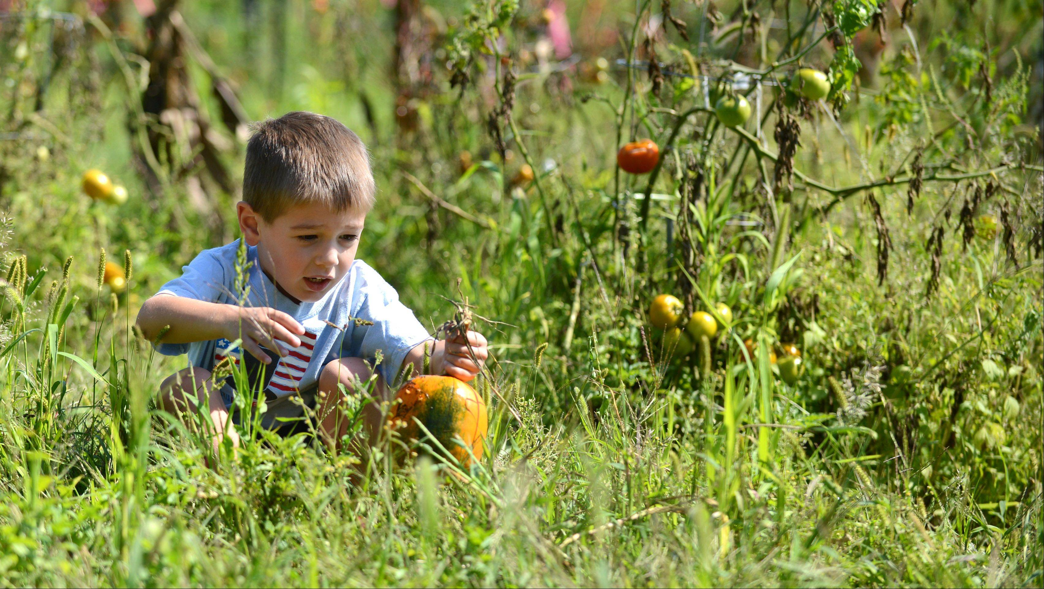 Jack Laraia, 4, of St. Charles picks a pumpkin while tending to his plot with his mom Lori at the community gardens at James O. Breen Community Park in St. Charles Wednesday. This is their second year with a plot where they grow tomatoes, zucchini, beans and peppers in addition to pumpkins.