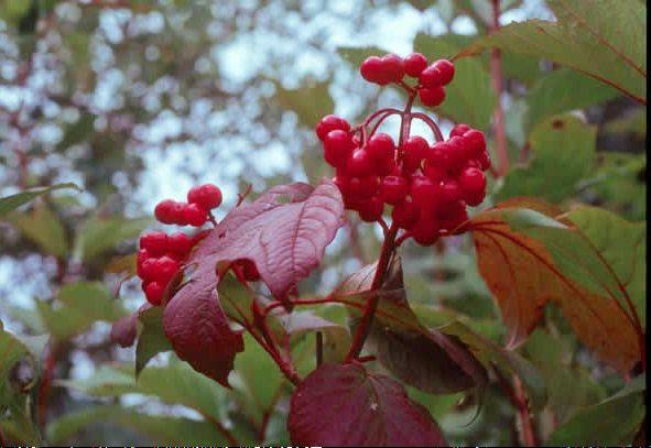 The nonprofit group Conserve Lake County will accept online orders for more than 40 species of native trees and shrubs from Labor Day weekend through Sept. 25. The American cranberry viburnum is being sold in the sale.