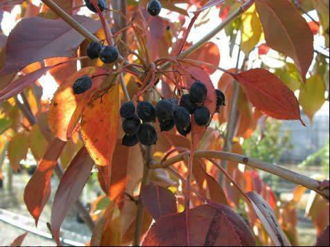 The nonprofit group Conserve Lake County will accept online orders for more than 40 species of native trees and shrubs from Labor Day weekend through Sept. 25. A nannyberry is being sold in the sale.