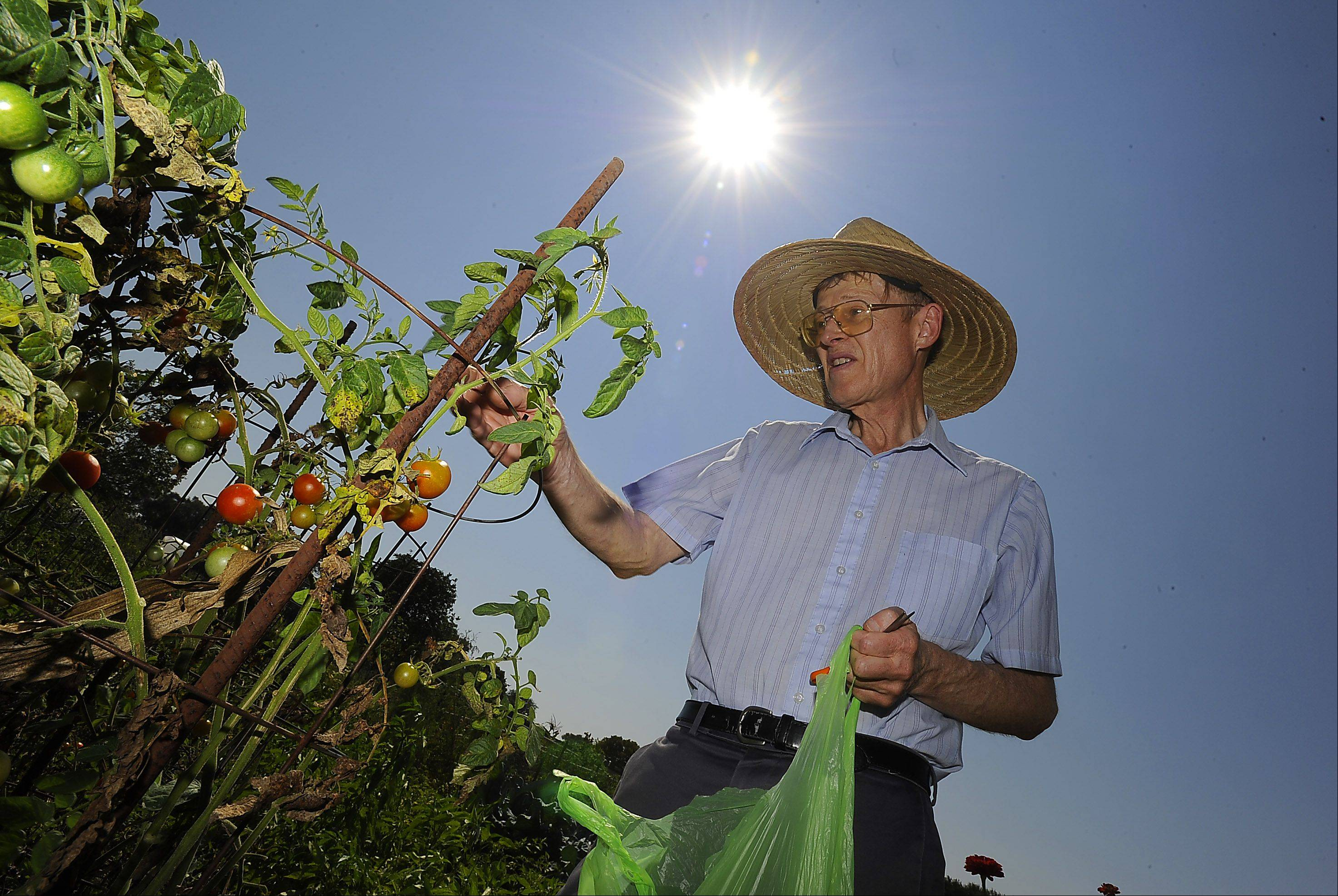 David Sullins of Mt. Prospect harvested his remaining cherry tomatoes on perhaps the hottest day of the year in his garden patch with his sun hat instead of his baseball hat which he just started using a week ago was working perfectly under these conditions.