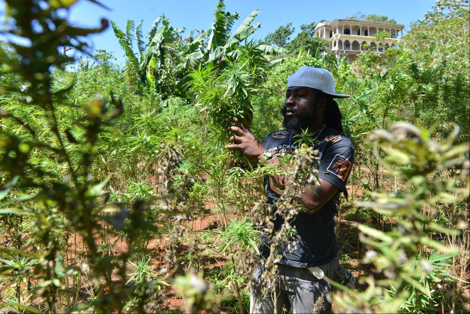 A farmer nicknamed Breezy shows his illegal patch of budding marijuana plants during a tour of his land in Jamaica's central mountain town of Nine Mile.