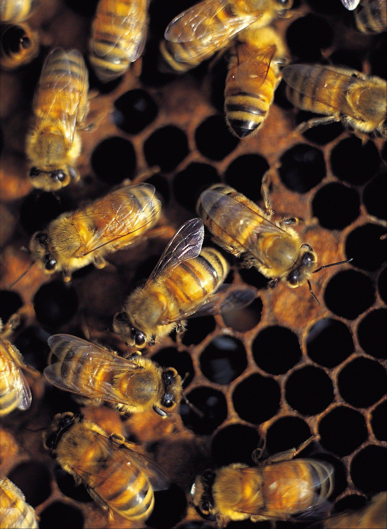 West Dundee officials will vote on a honeybee ordinance in October. If approved, residents would be allowed to raise honeybees in their backyards.
