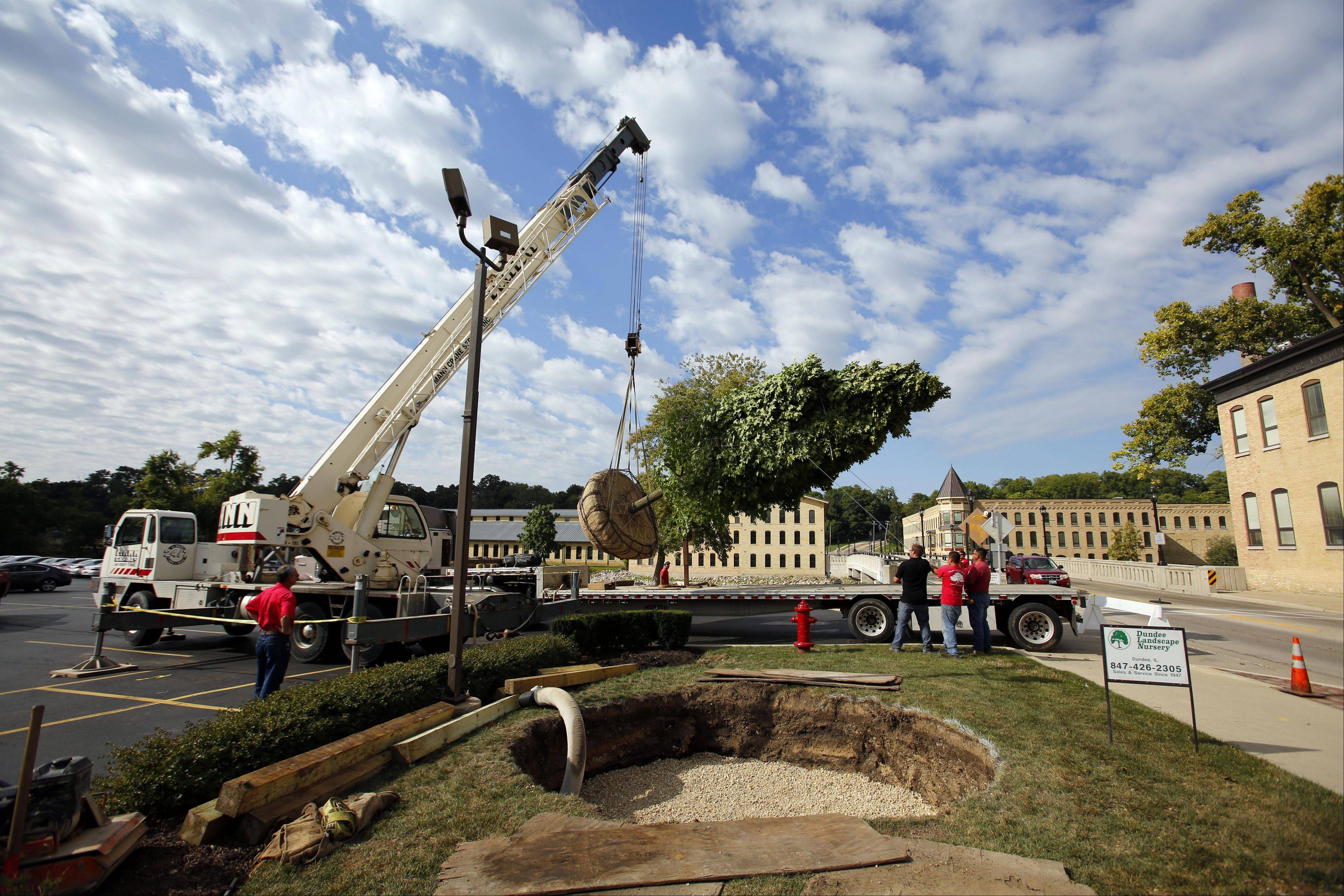 A crew from Dundee Landscape Nursery & Garden Center plants a large sugar maple tree Thursday at Otto Engineering in Carpentersville. The tree weighed 20,000 pounds and was lifted by crane and deposited in its final resting spot.