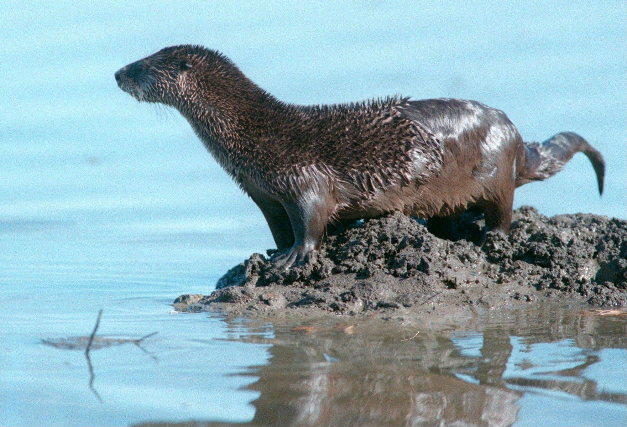 A river otter in Illinois.