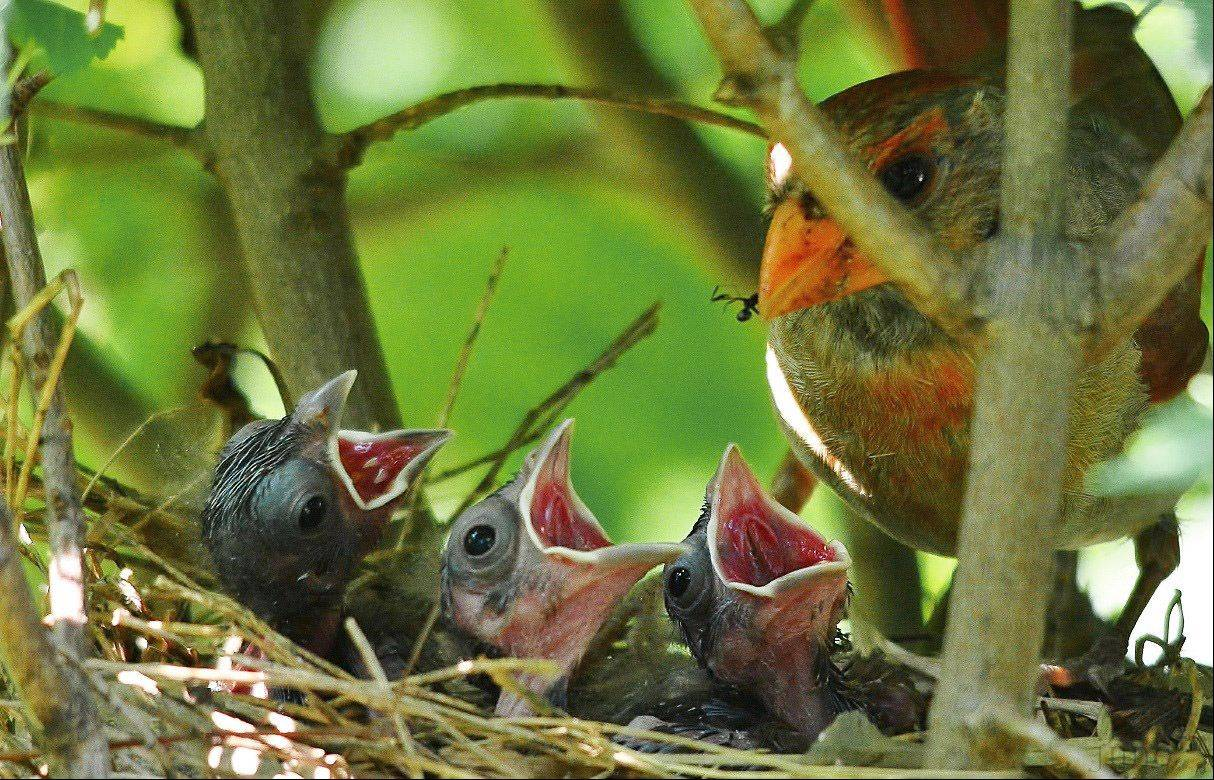 A female northern cardinal feeds her three nestlings in Wheeling on August 21st.