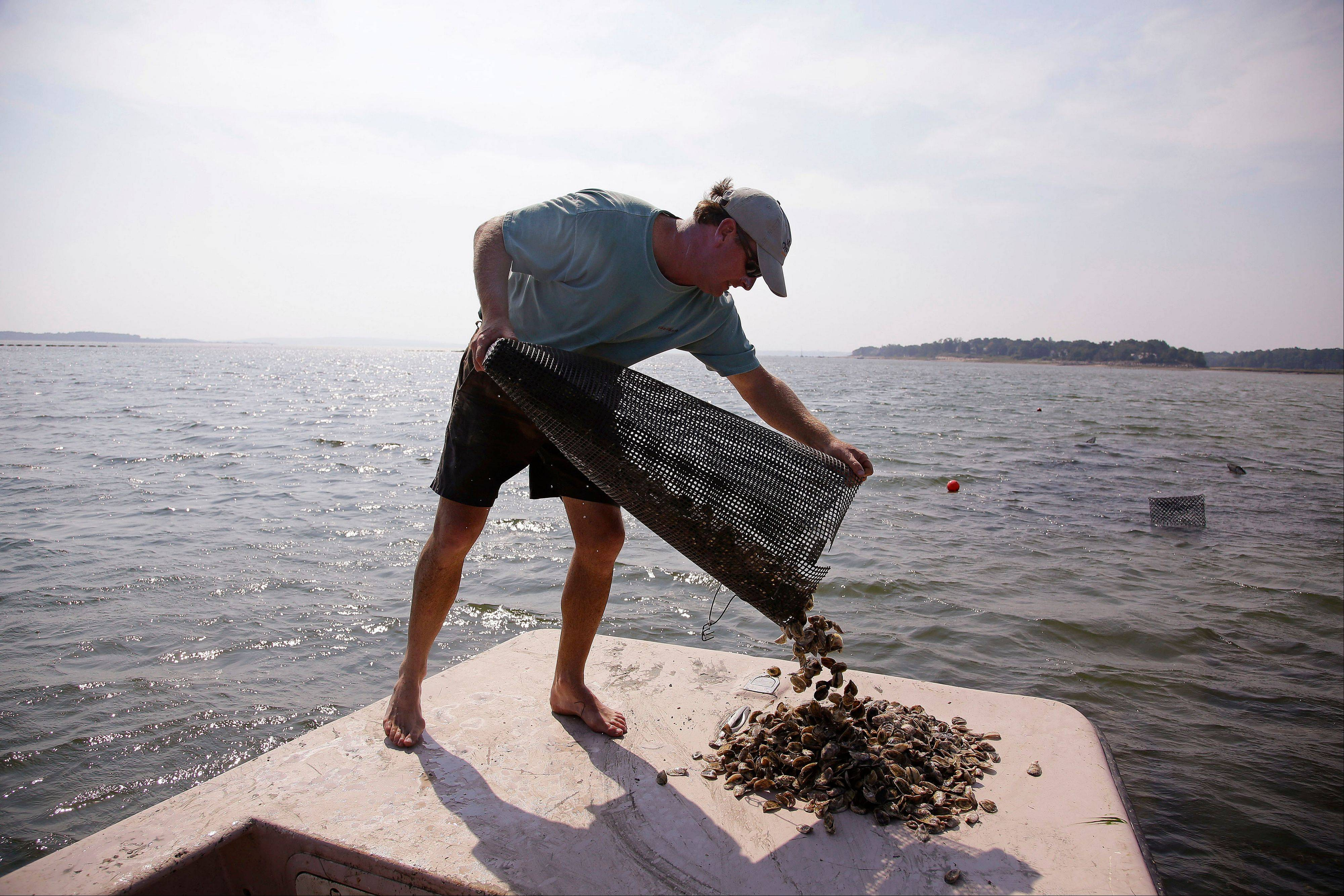 Oyster cultivator Don Merry pours oyster seed onto the bow of his boat Thursday on Duxbury Bay in Duxbury, Mass.