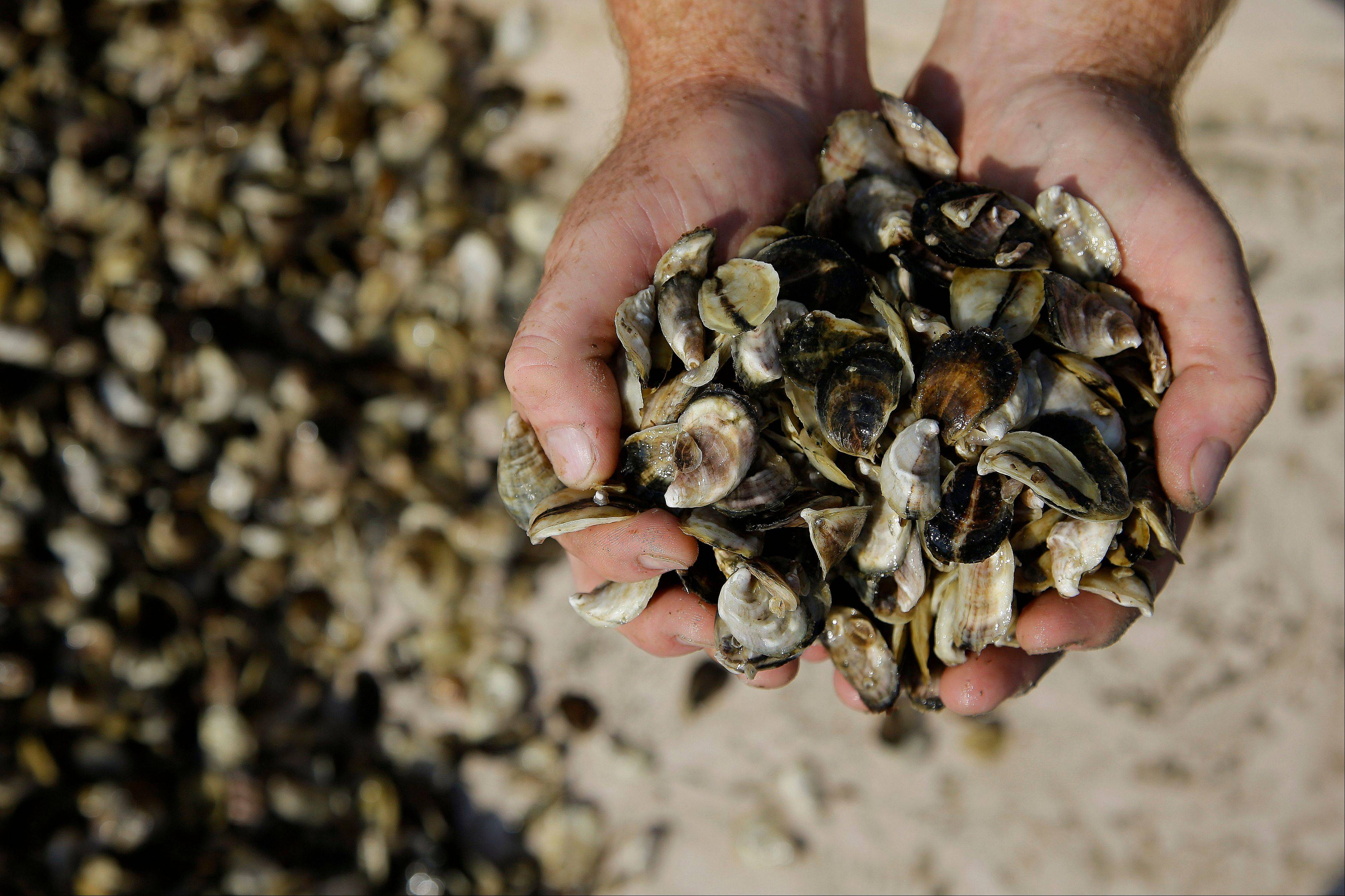 Merry holds his oyster seed before spreading them into the waters of Duxbury Bay.