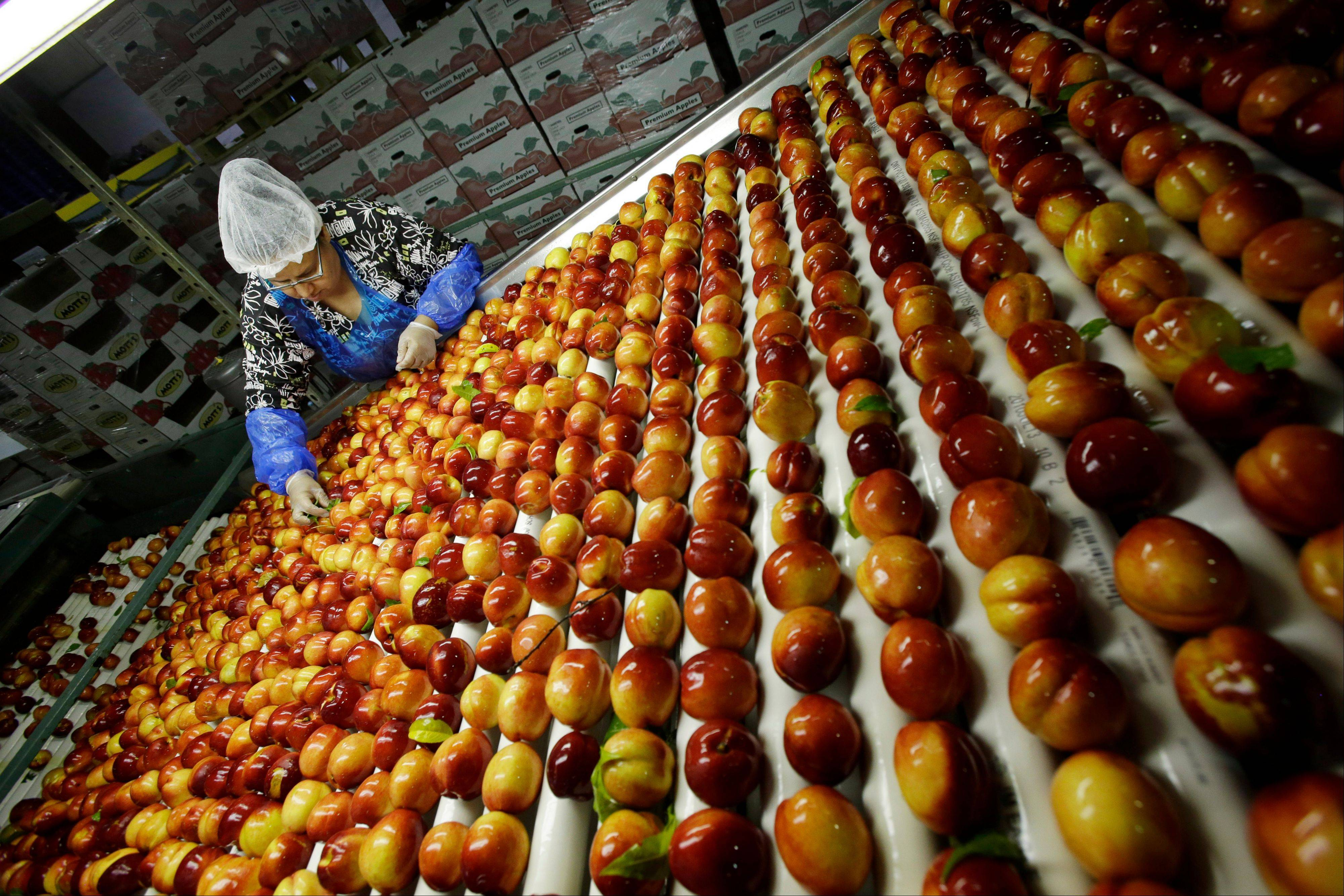 A worker removes leaves as nectarines get sorted for packaging at Eastern ProPak Farmers Cooperative in Glassboro, N.J. The U.N. food agency said Wednesday that one-third of all food produced in the world gets wasted, amounting to a loss of $750 billion a year.