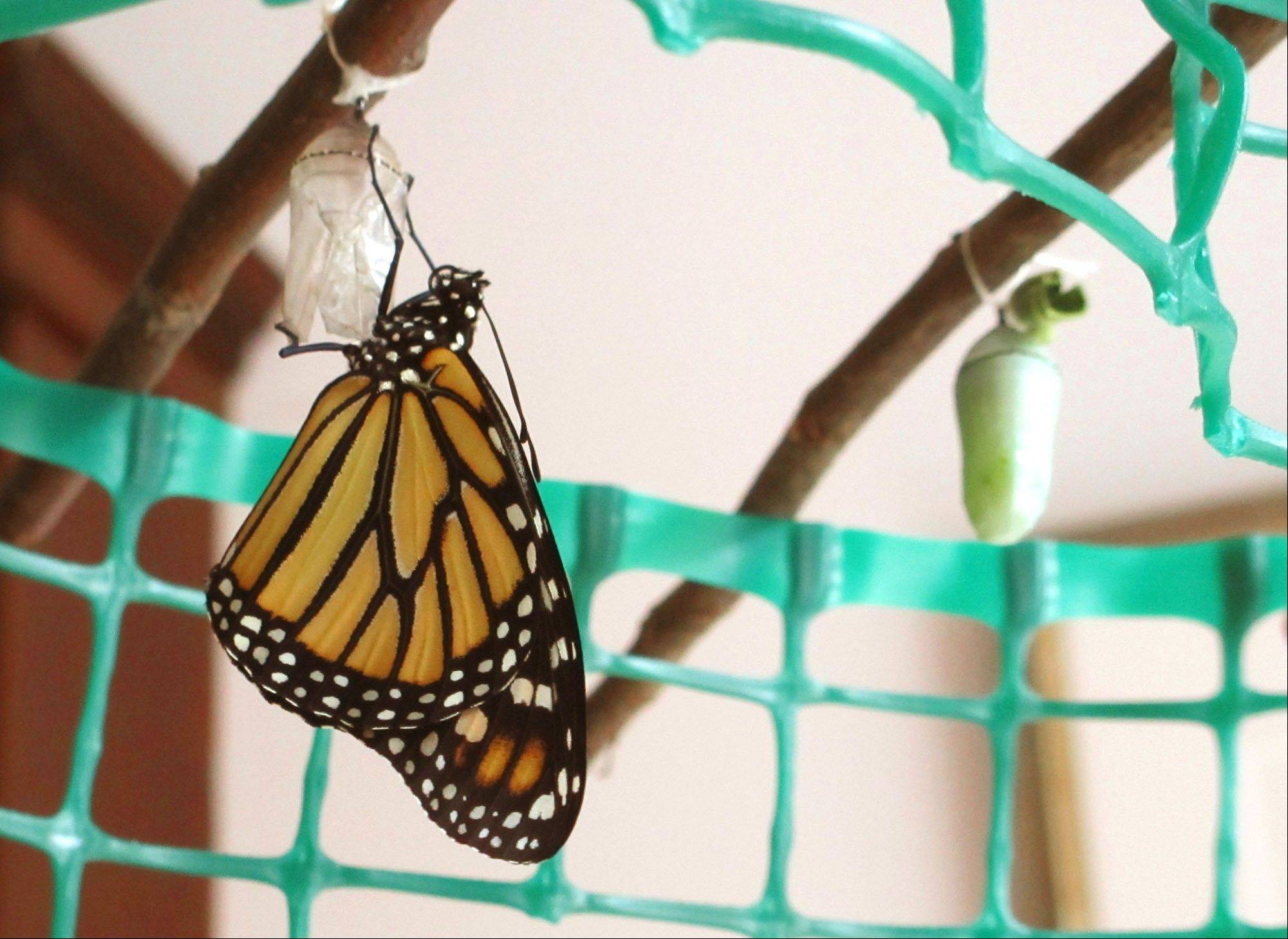 A newly hatched butterfly that Sharon Metcalf raised in early summer. The monarchs distinctive green chrysalis can be seen in the background.