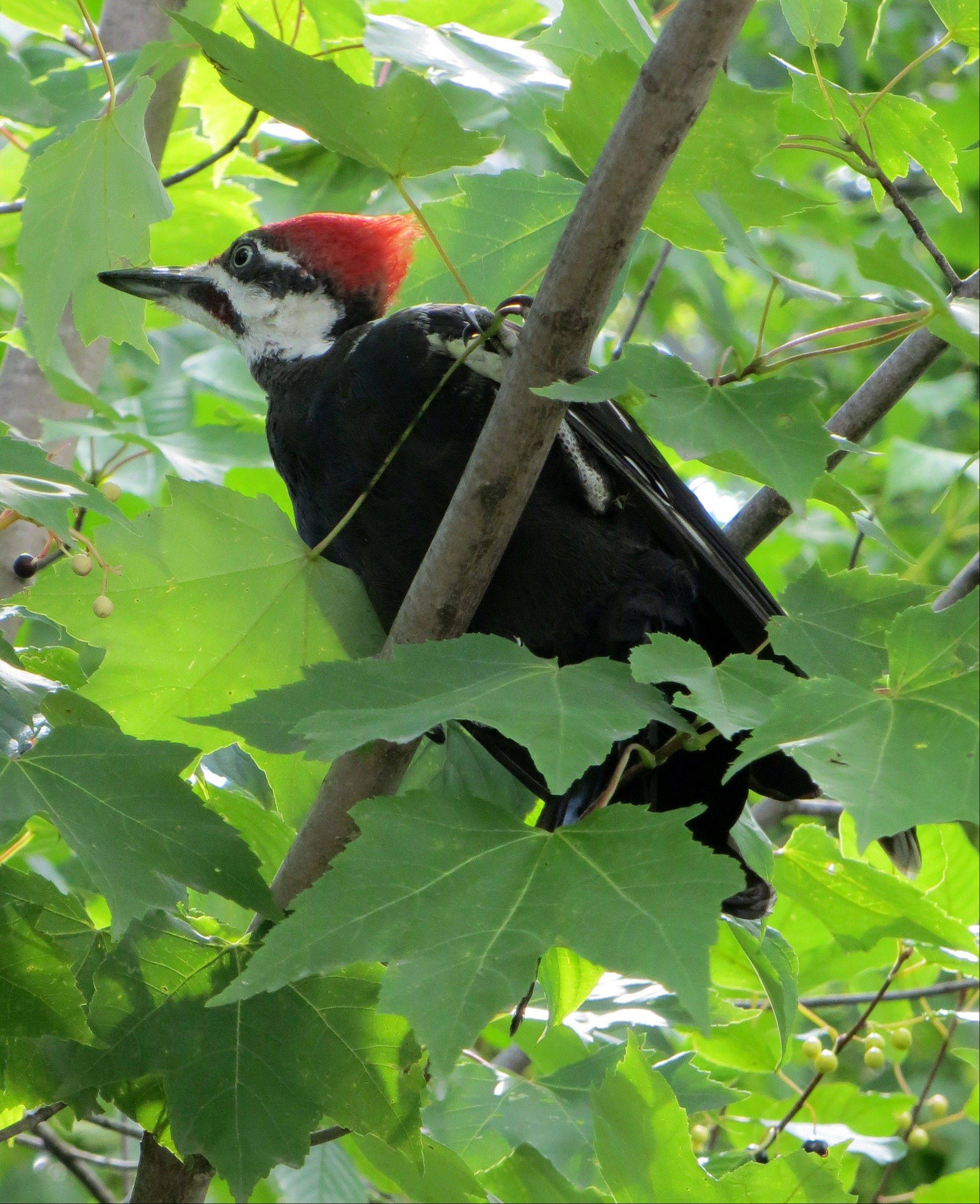 A woodpecker perches along the P'tit Train du Nord rail trail outside Montreal, Quebec.