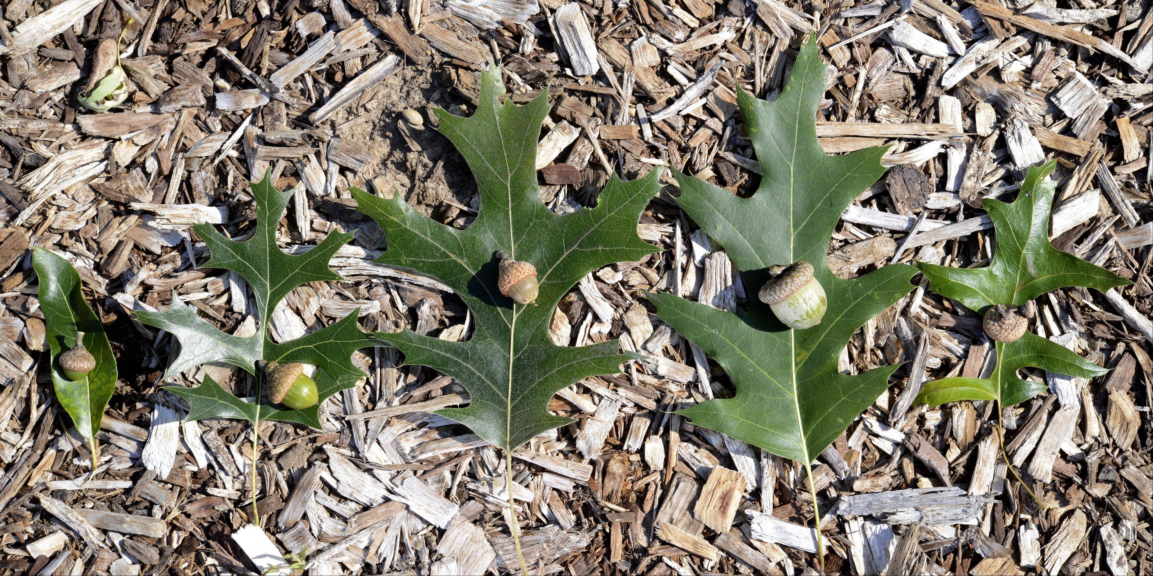 A side-by-side comparison of oaks in the red oak family. From left: shingle, hills, black, northern red and pin oak leaves and their respective acorns. Red oak members take two years for their acorns to develop and drop, unlike members of the white oak family.