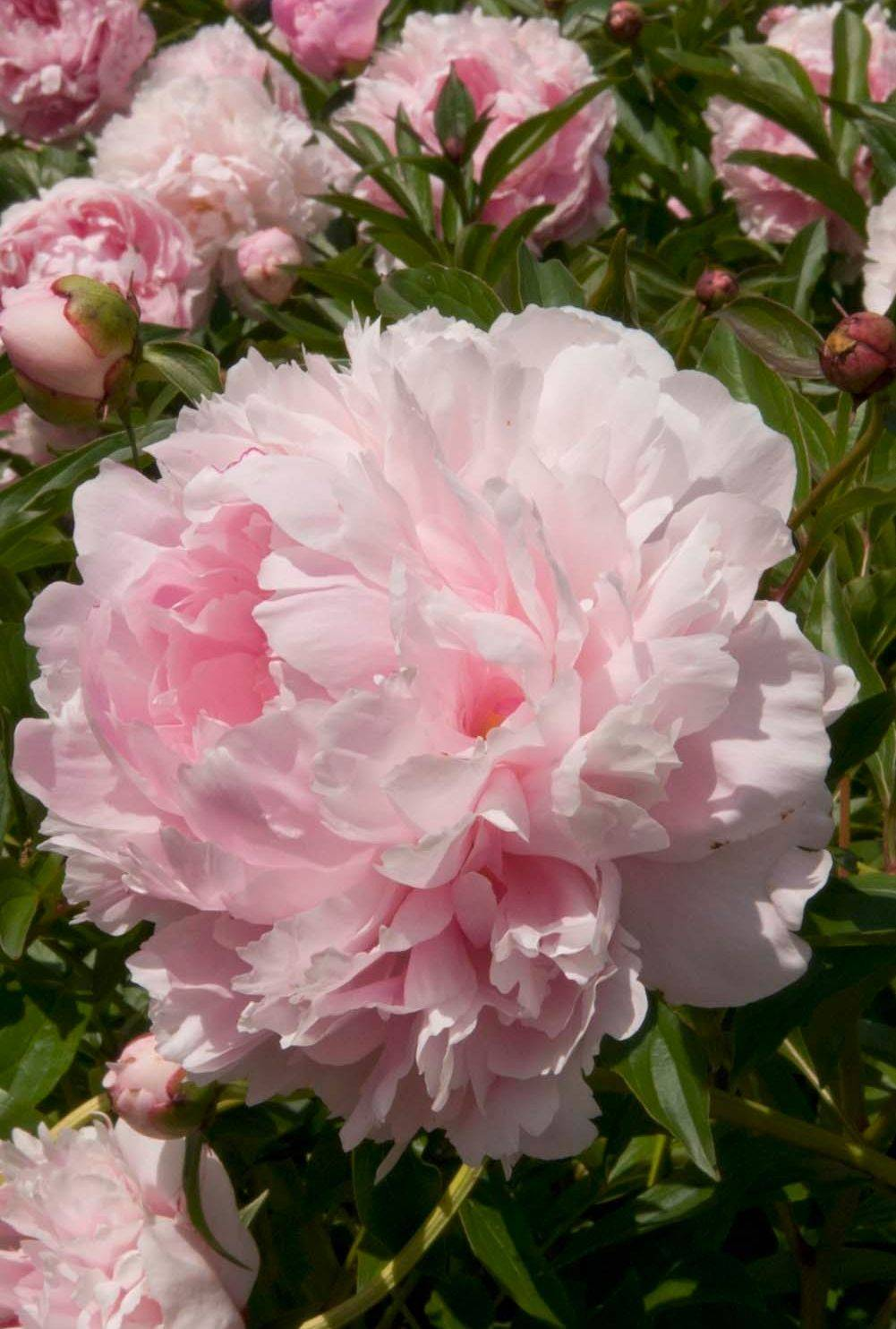 September is a good time to plant peonies or divide existing ones. They will do best in full sun.