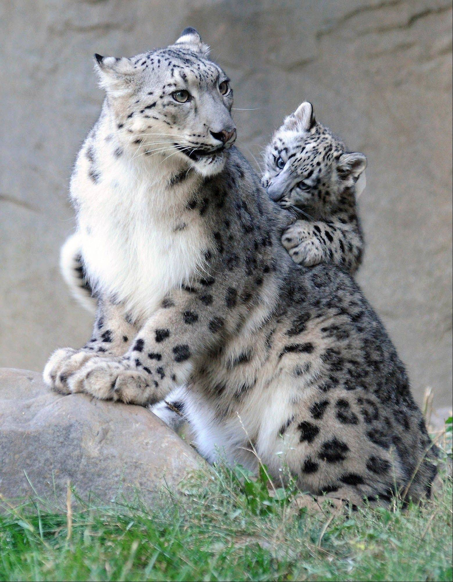 A 3-month-old snow leopard cub, born June 13, plays with his 3-year-old mother, Sarani, at the Brookfield Zoo in Brookfield. The cub made his public debut at the zoo Wednesday. Snow leopards are considered an endangered species.