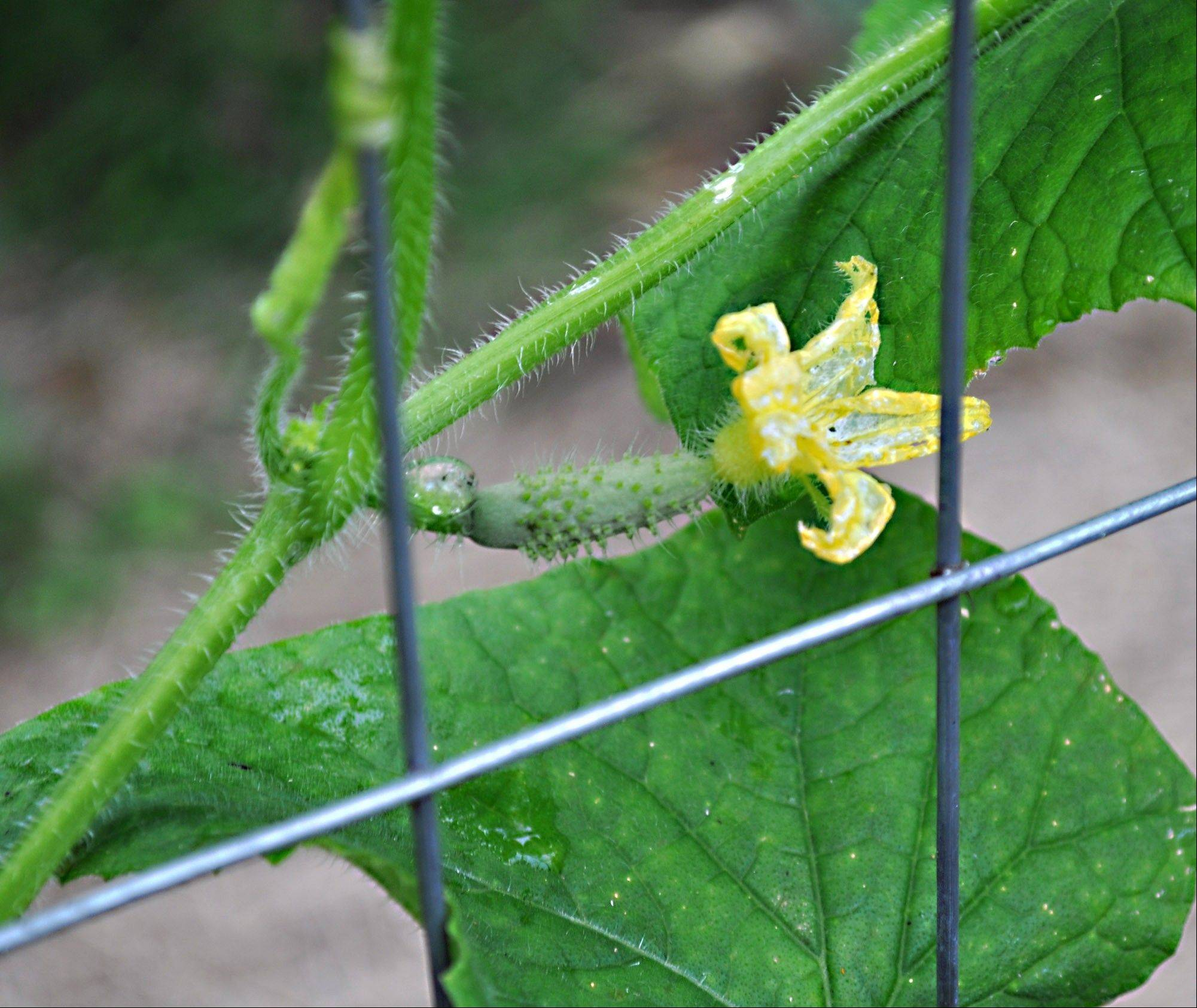 Seeds can be collected from a cucumber.