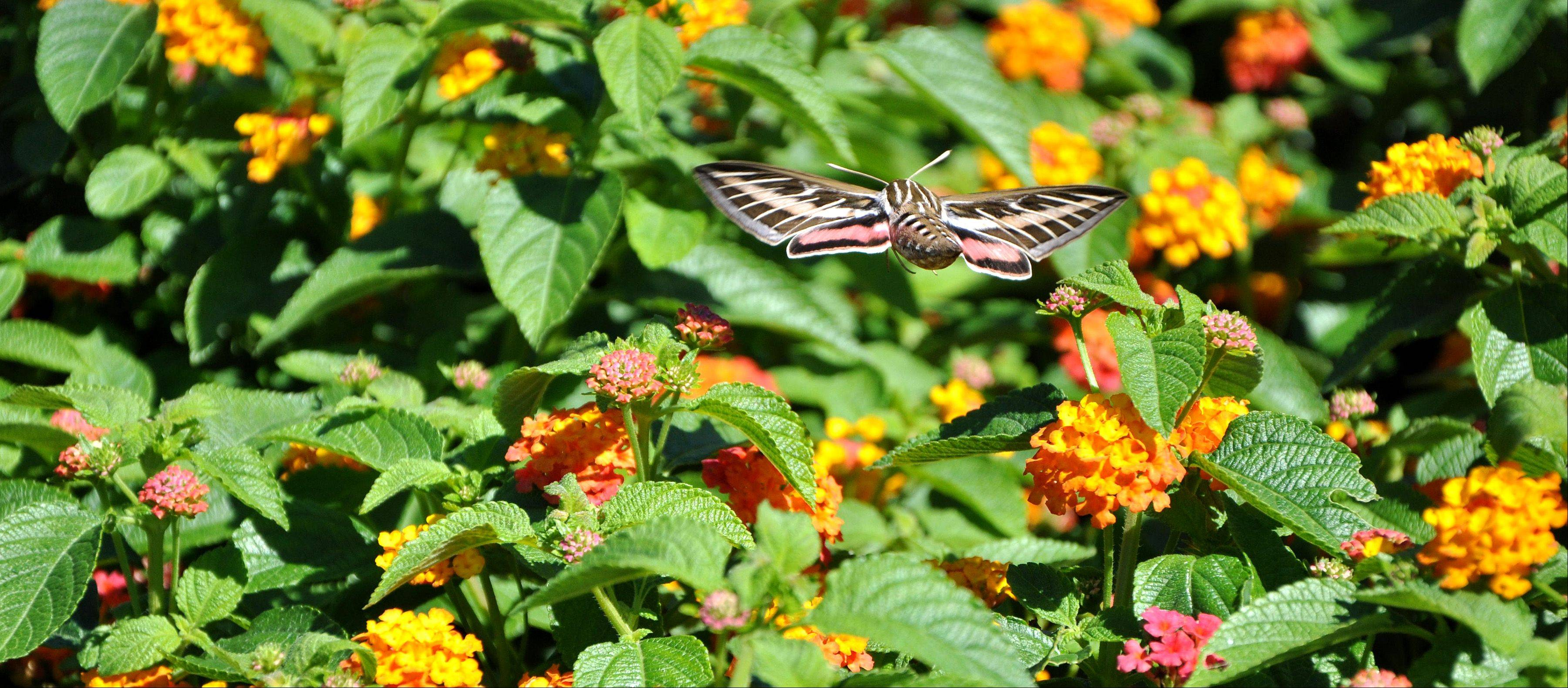 I spotted this Sphinx Hummingbird Moth as I was leaving Cantigny Gardens in Wheaton.
