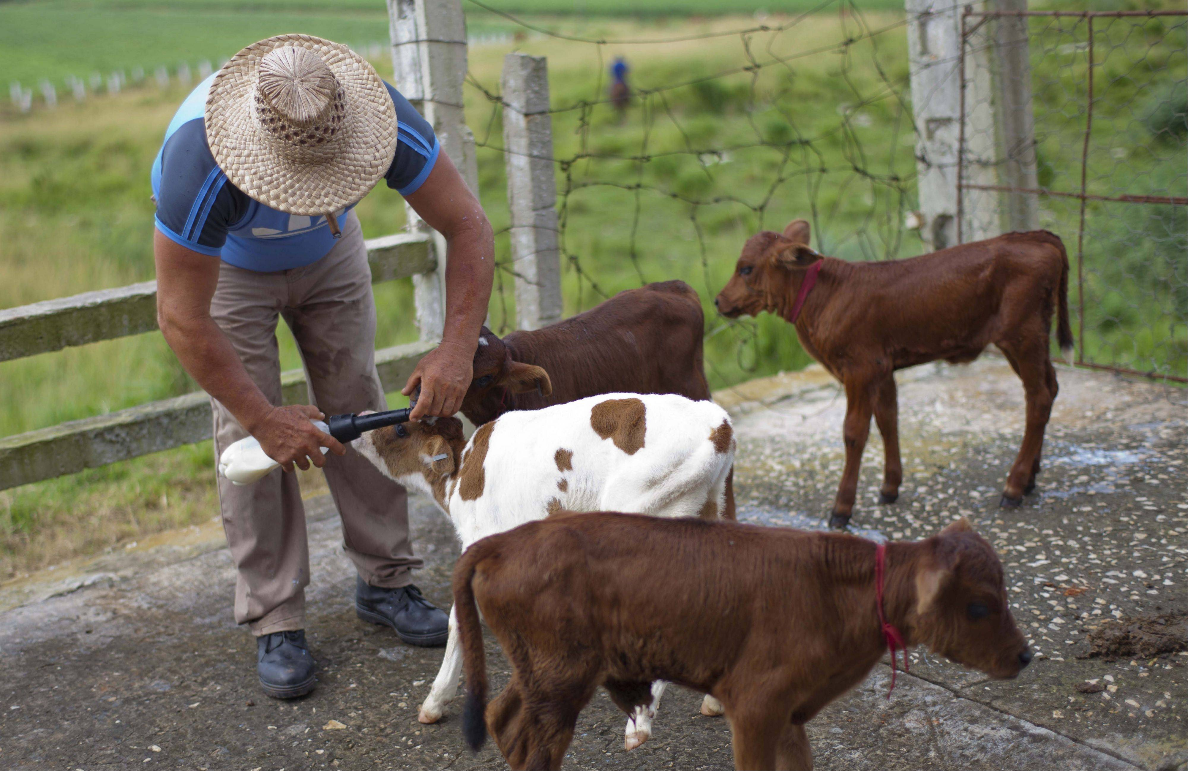 Veterinarian Andres Rodriguez feeds milk Thursday to quadruplet calves born on the state-owned dairy farm in Picadura, Cuba.