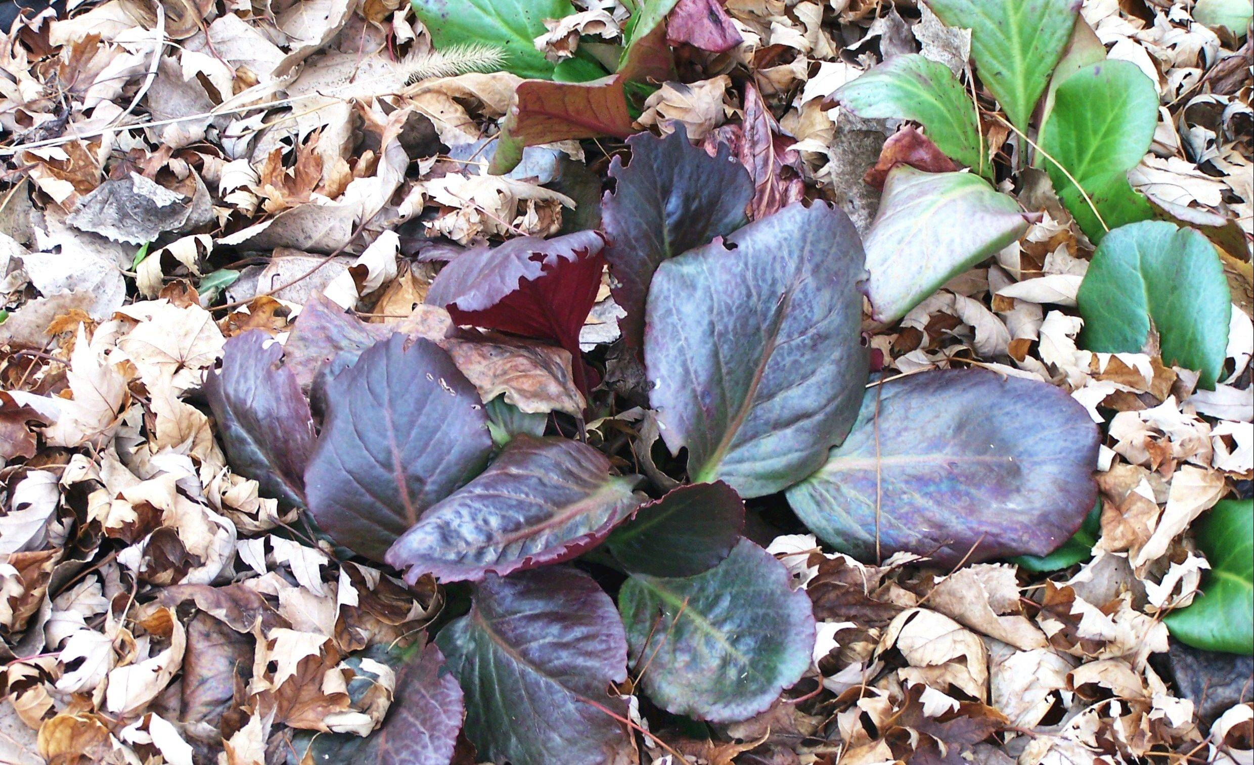 The ruby red foliage of bergenia shines in the shade garden.