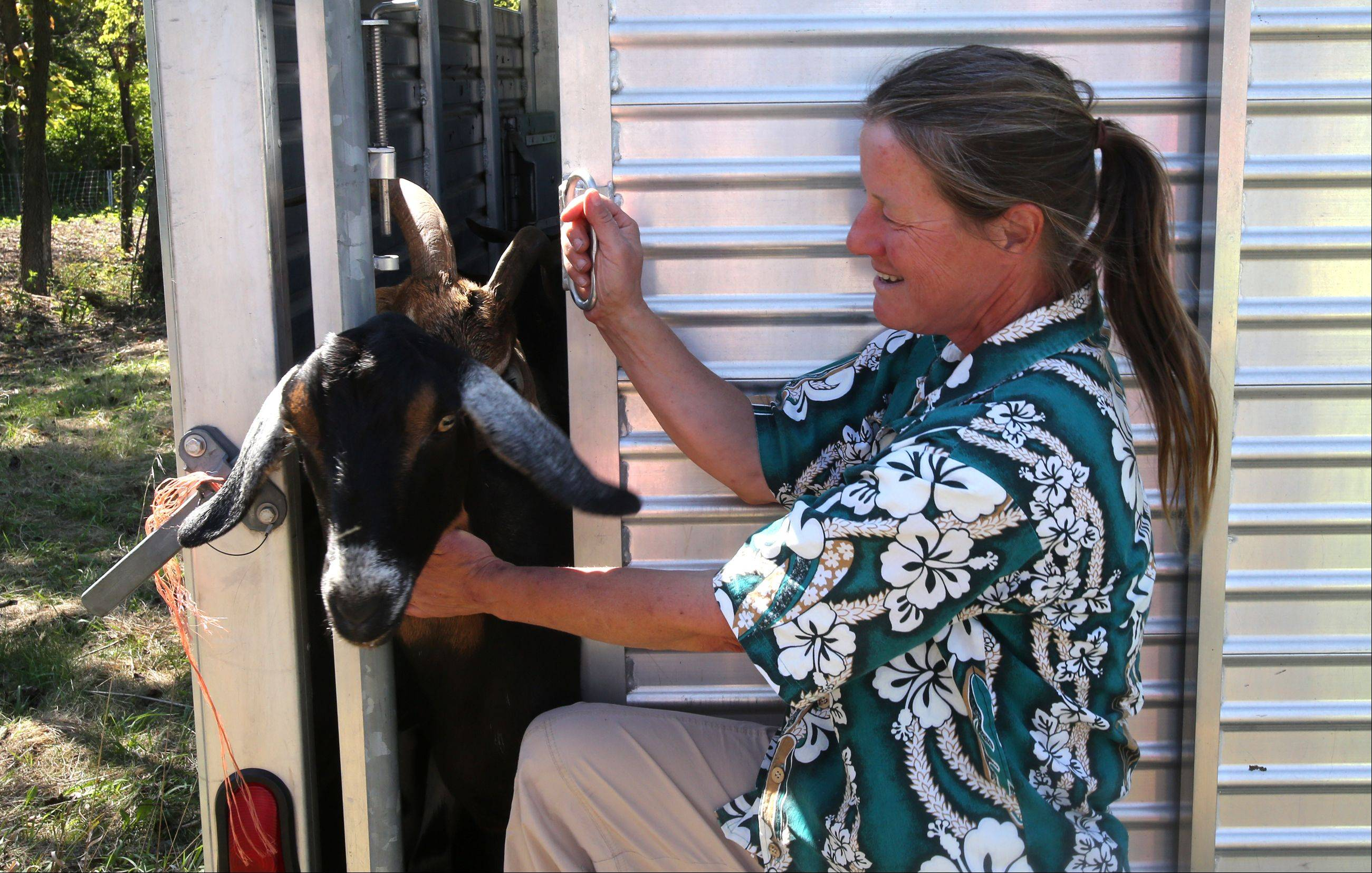 One of Kim Hunter's 45 goats is ready to be released Tuesday afternoon to the fields of Knoch Knolls park in Naperville. The goats will graze for about four weeks, removing invasive plants in a 5-acre area so a disc golf course can be expanded.